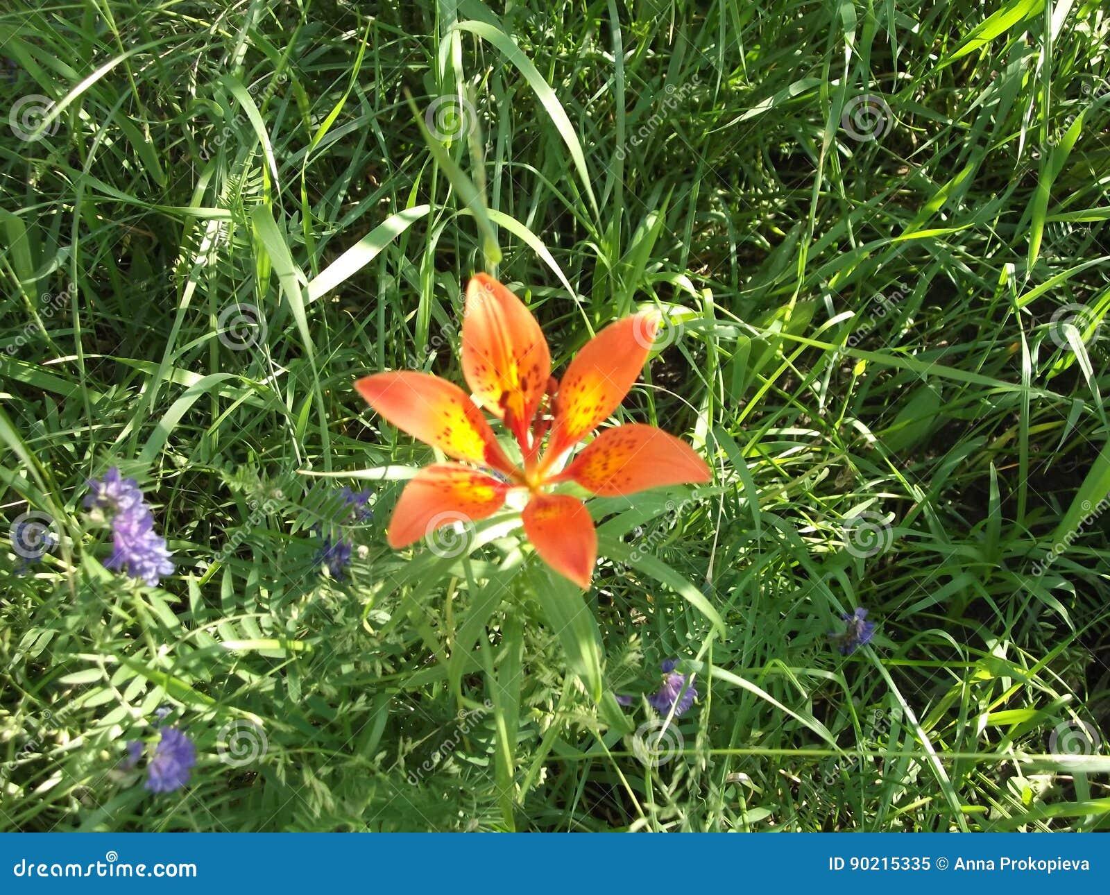 Wild Lily Of Yakutia 21 Stock Image Image Of Taiga Flowers 90215335