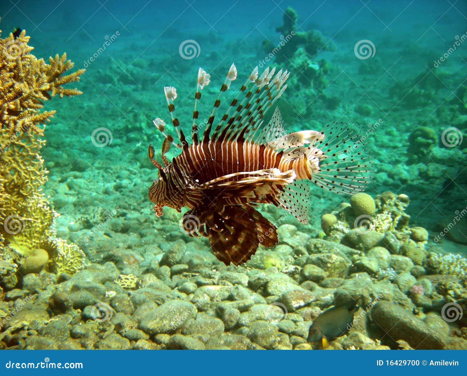 Wild lion fish stock photo image 16429700 for Fish s wild