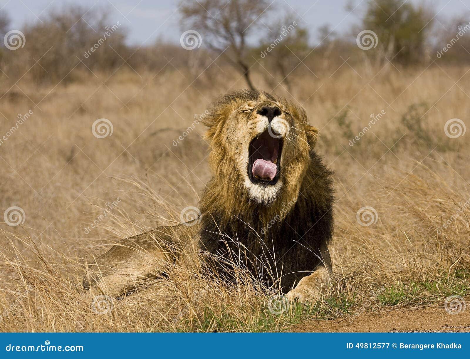 Patrice - Lions