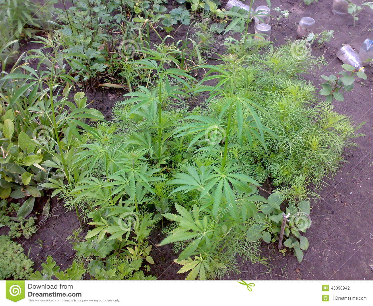 Growing Weed In Your Backyard : The photo shows wild marijuana growing in the backyard Wild grass in