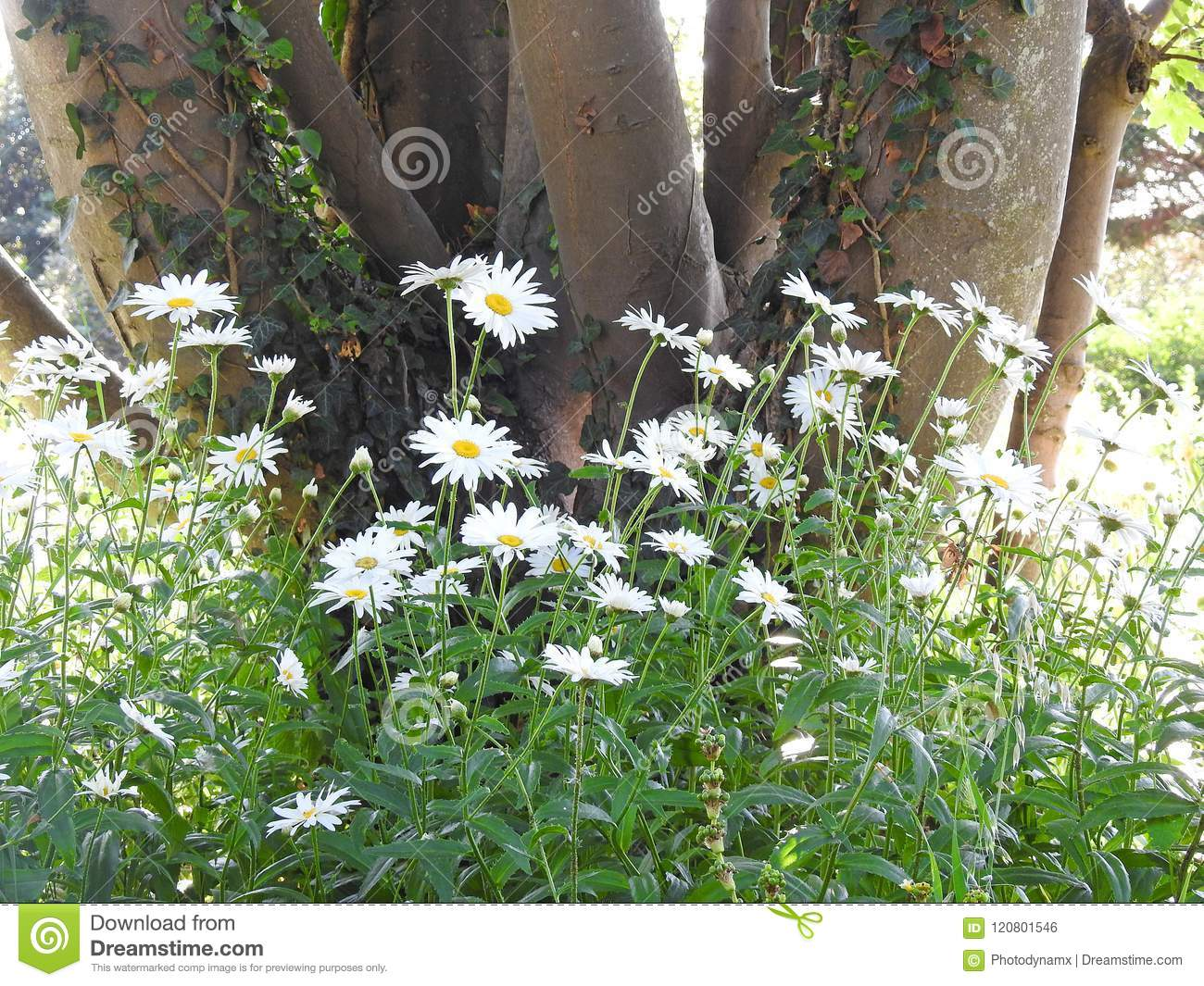 Wild Meadow Forest Daisy Flowers Country Stock Photo Image Of