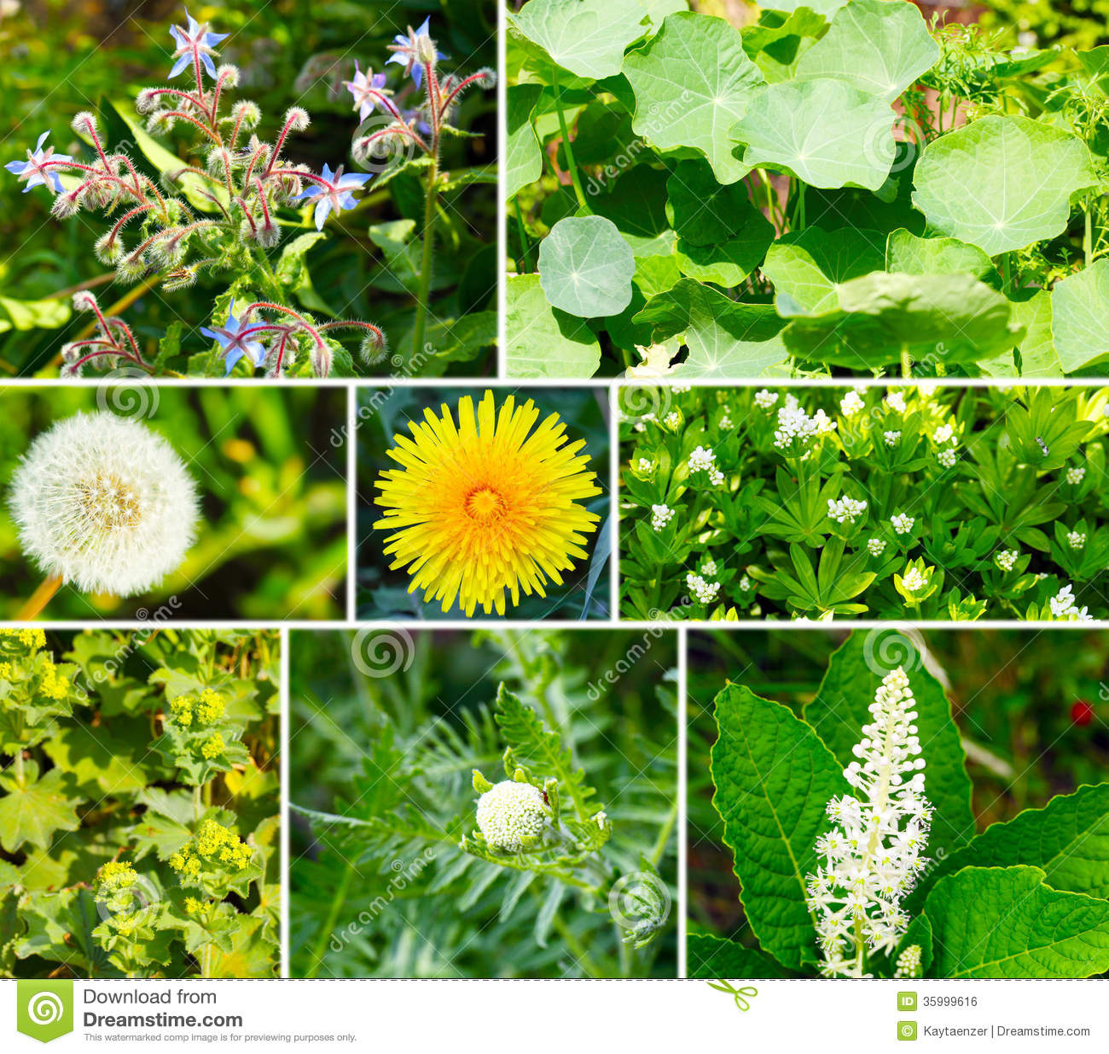 Wild Backyard Herbs : Wild And Medicinal Herbs Royalty Free Stock Image  Image 35999616