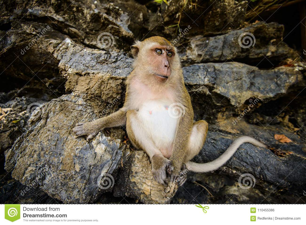 Wild Monkey From The Jungle Krabi Thailand Stock Photo