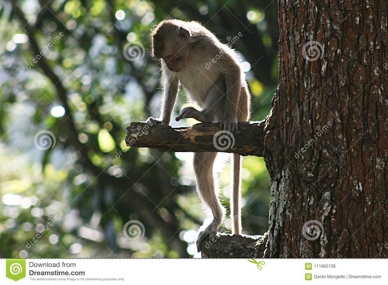 Java monkey in the wild and at home 68