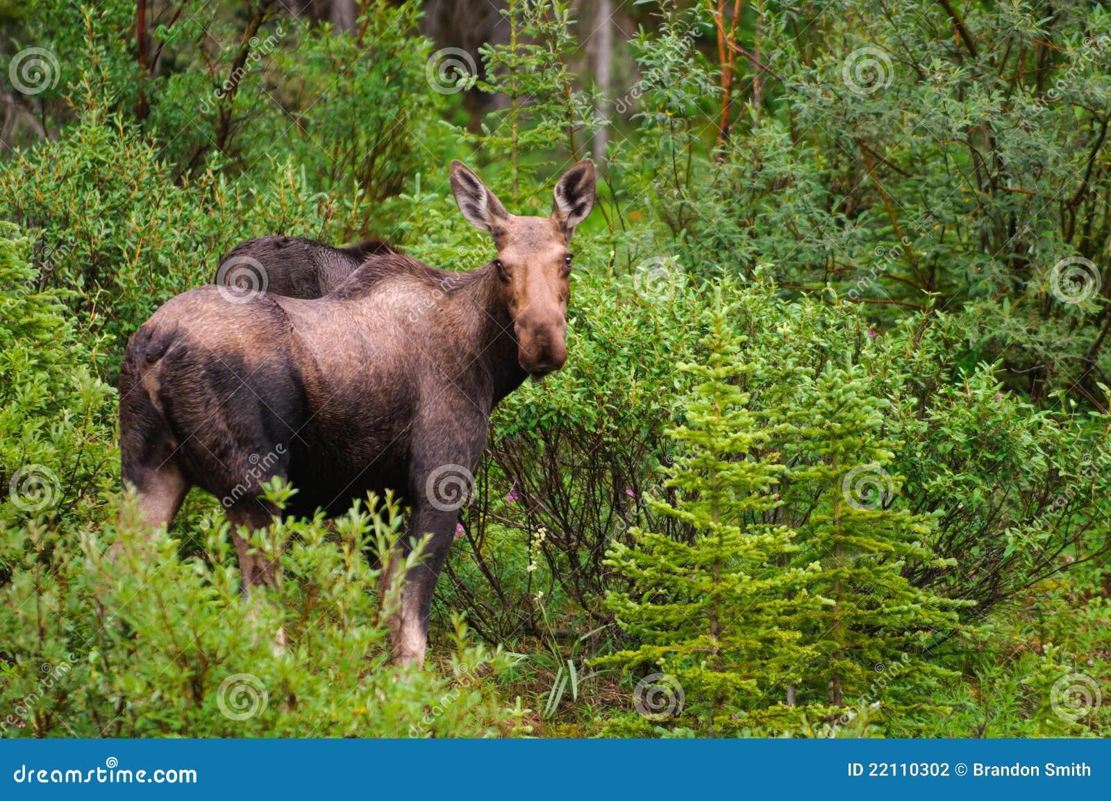 Wild Moose in the mountains, Kananaskis country Alberta Canada.