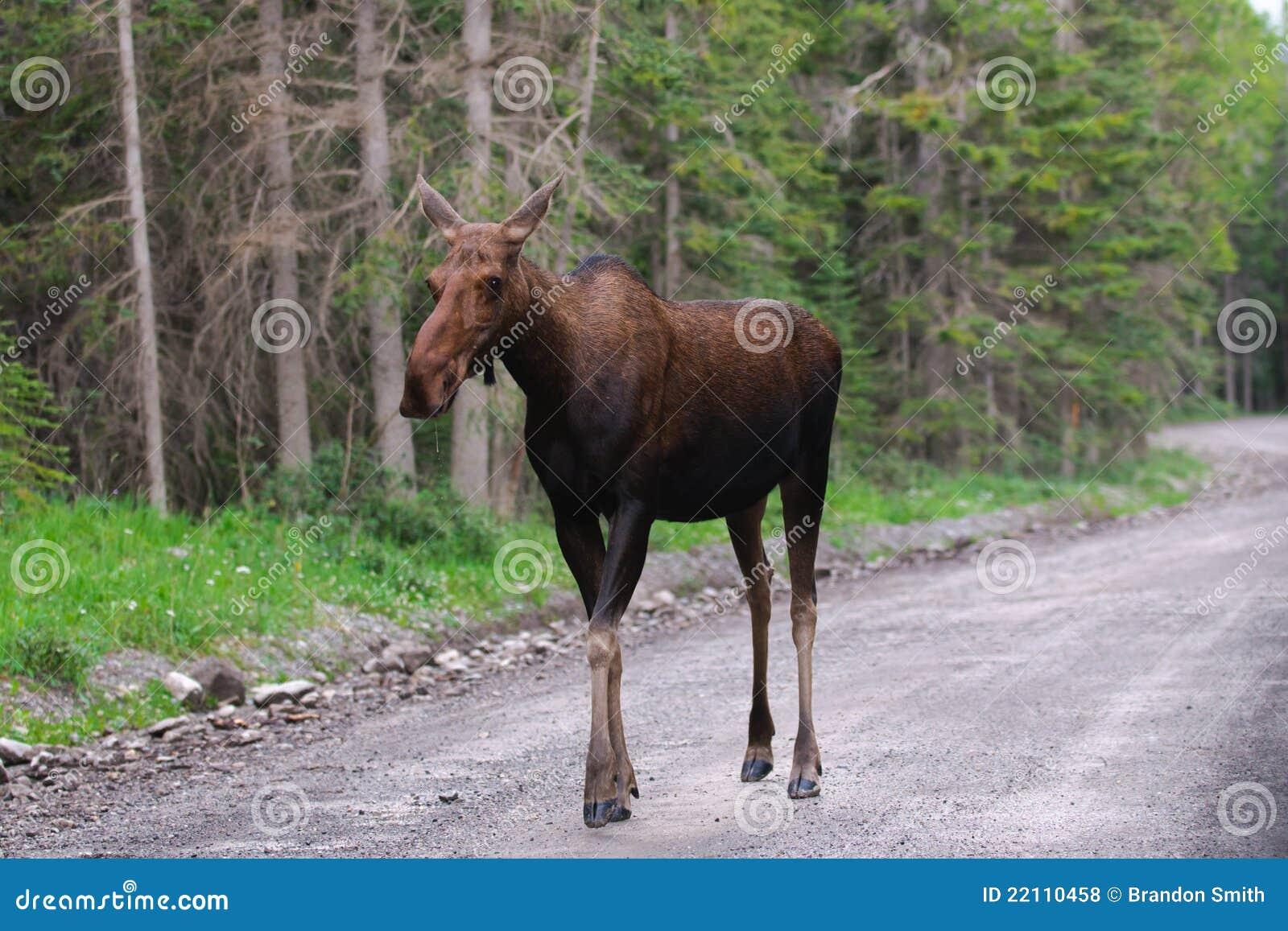 wild moose royalty free stock photos image 22110458