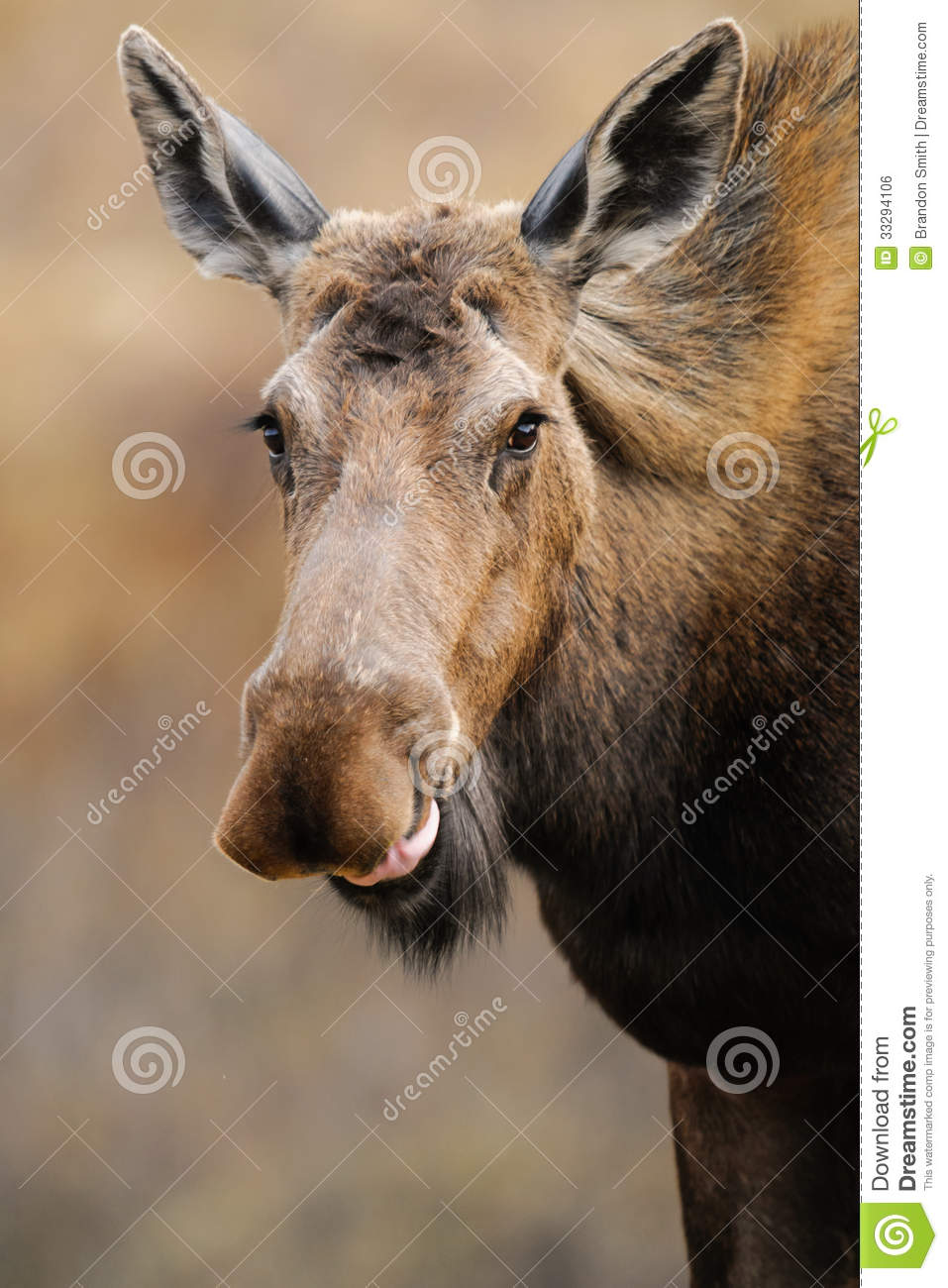 Wild Moose (Alces Alces) Royalty Free Stock Image - Image: 33294106