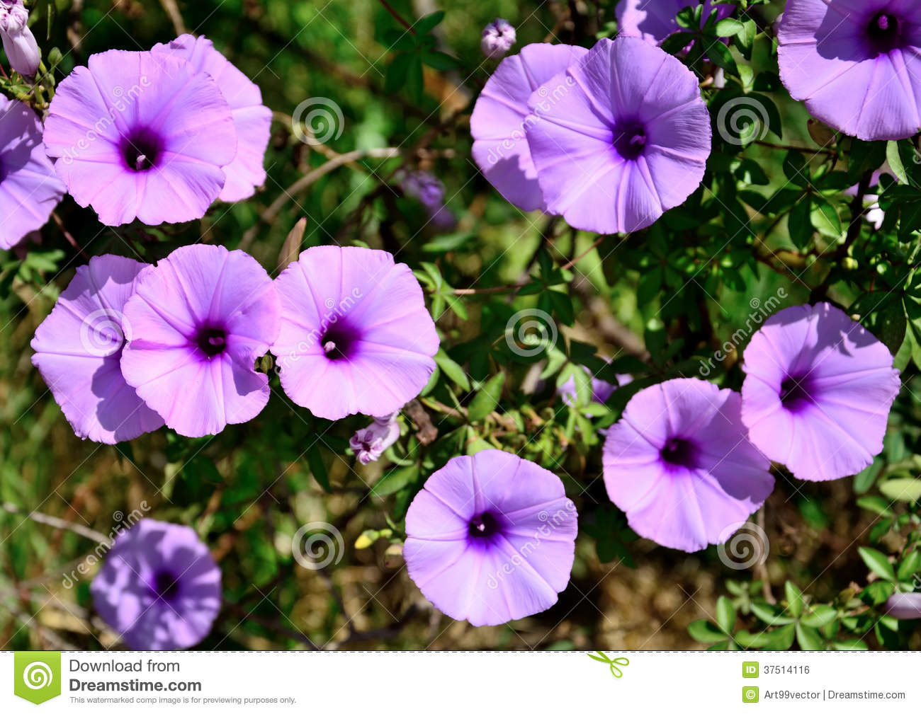 Wild Morning Glory Flowers Stock Photo Image Of Violet 37514116