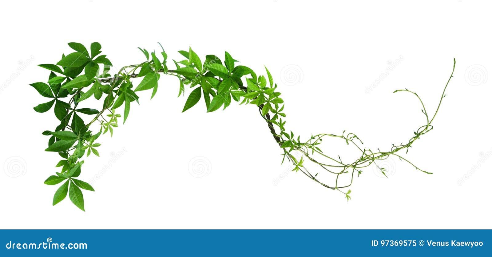 Jungle Vines Stock Photos - Download 2,621 Royalty Free Photos