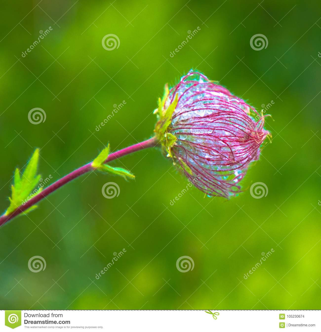 Wild mountain flower covered with dew stock photo image of summer morning in the wild mountains the dew covers the wild rare and beautiful flowers green background izmirmasajfo
