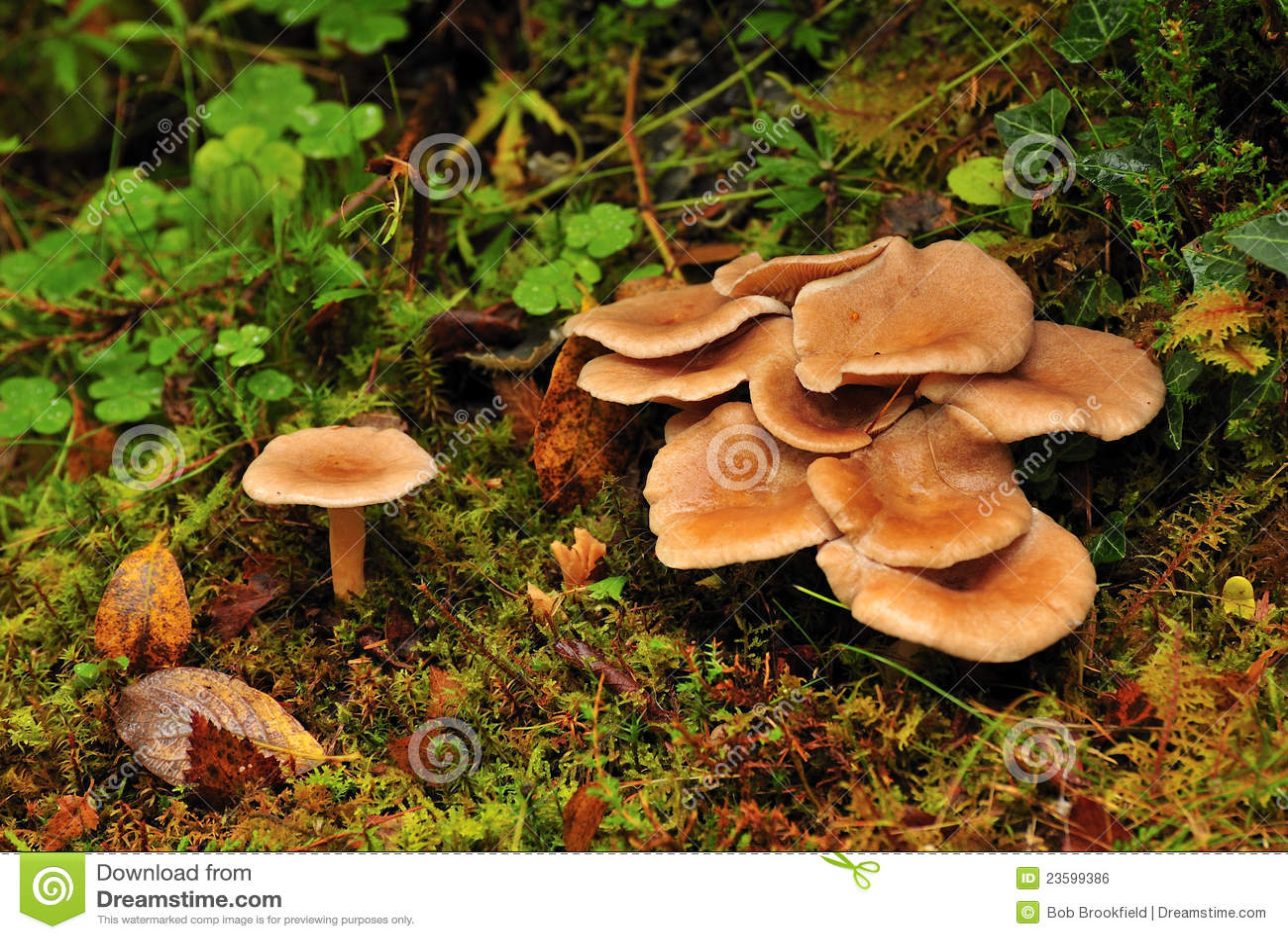 Wild mushrooms clitocybe squamulosa royalty free stock image image 23599386 - Wild mushrooms business ideas ...
