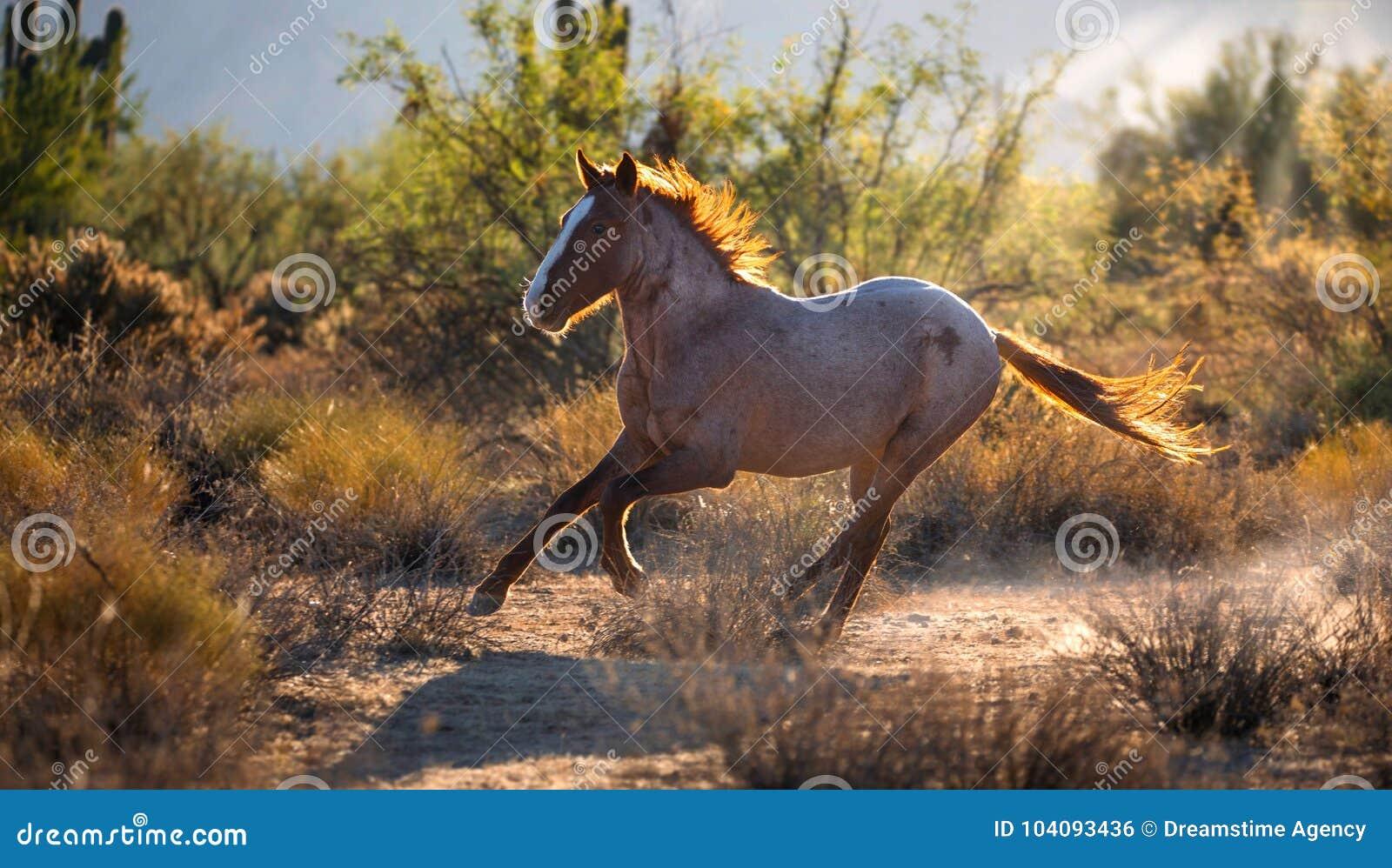 Wild Mustang Horse Running