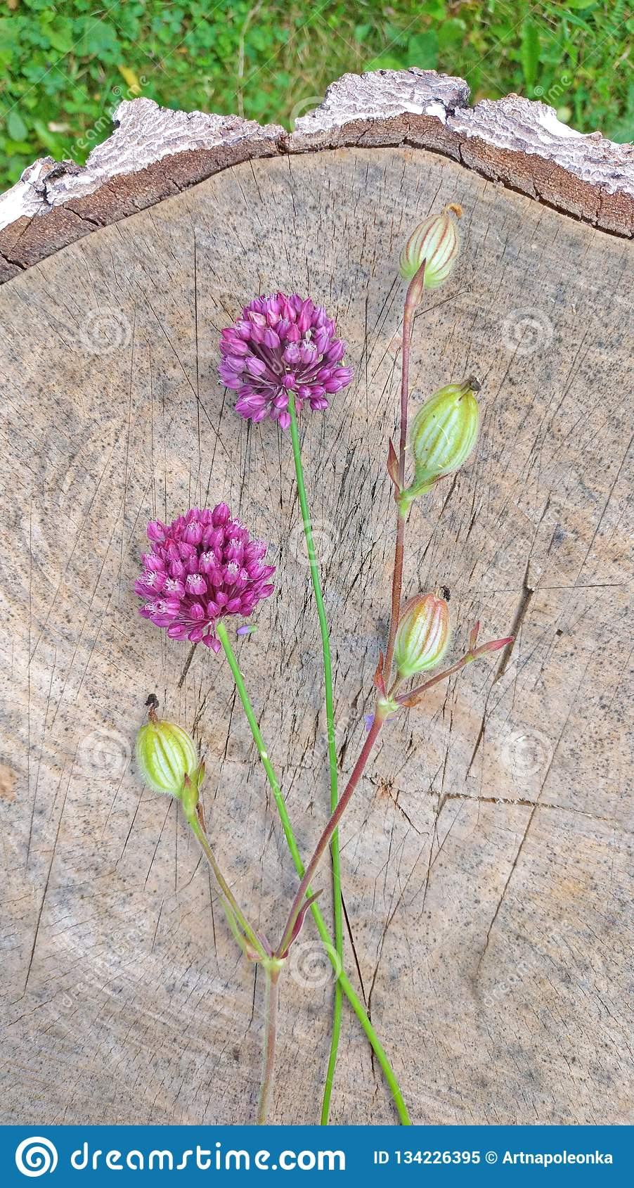 Wild onion violet on a wooden background of black walnut. Beautiful summer wildflowers. Two flowers. Minimalism. vertical,