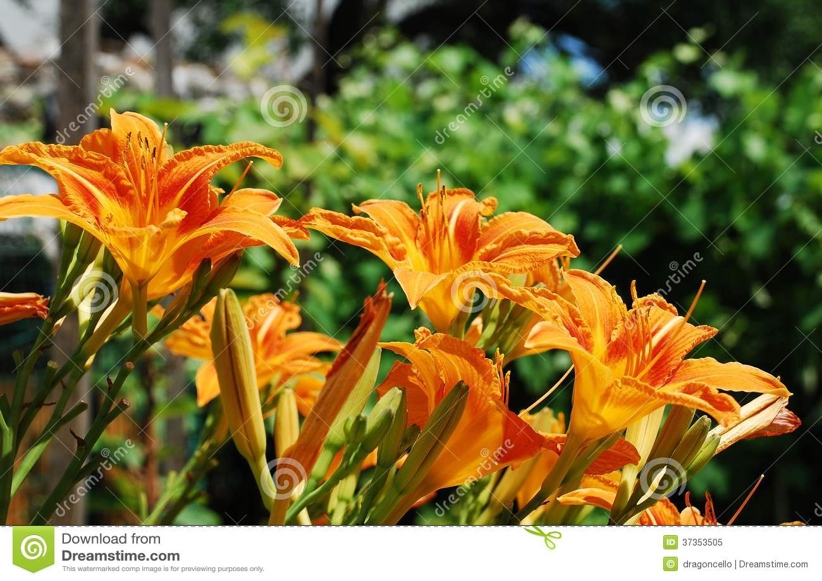 Wild Orange Lilies Stock Image Image Of Orange Flowers 37353505