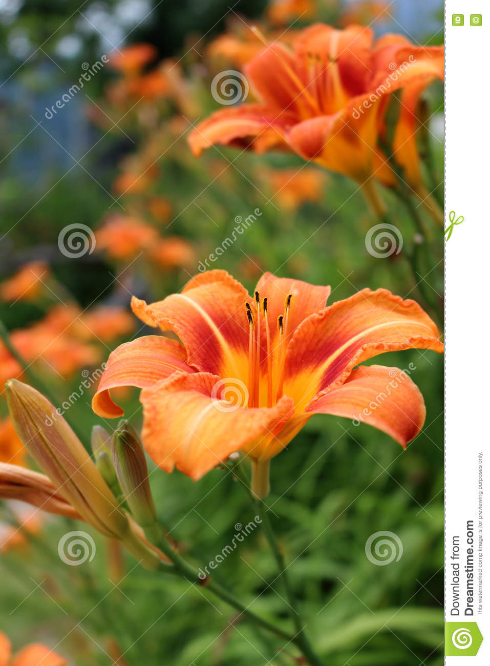 Wild orange tiger lily flowers lilium bulbiferum stock photo download wild orange tiger lily flowers lilium bulbiferum stock photo image of mountains izmirmasajfo