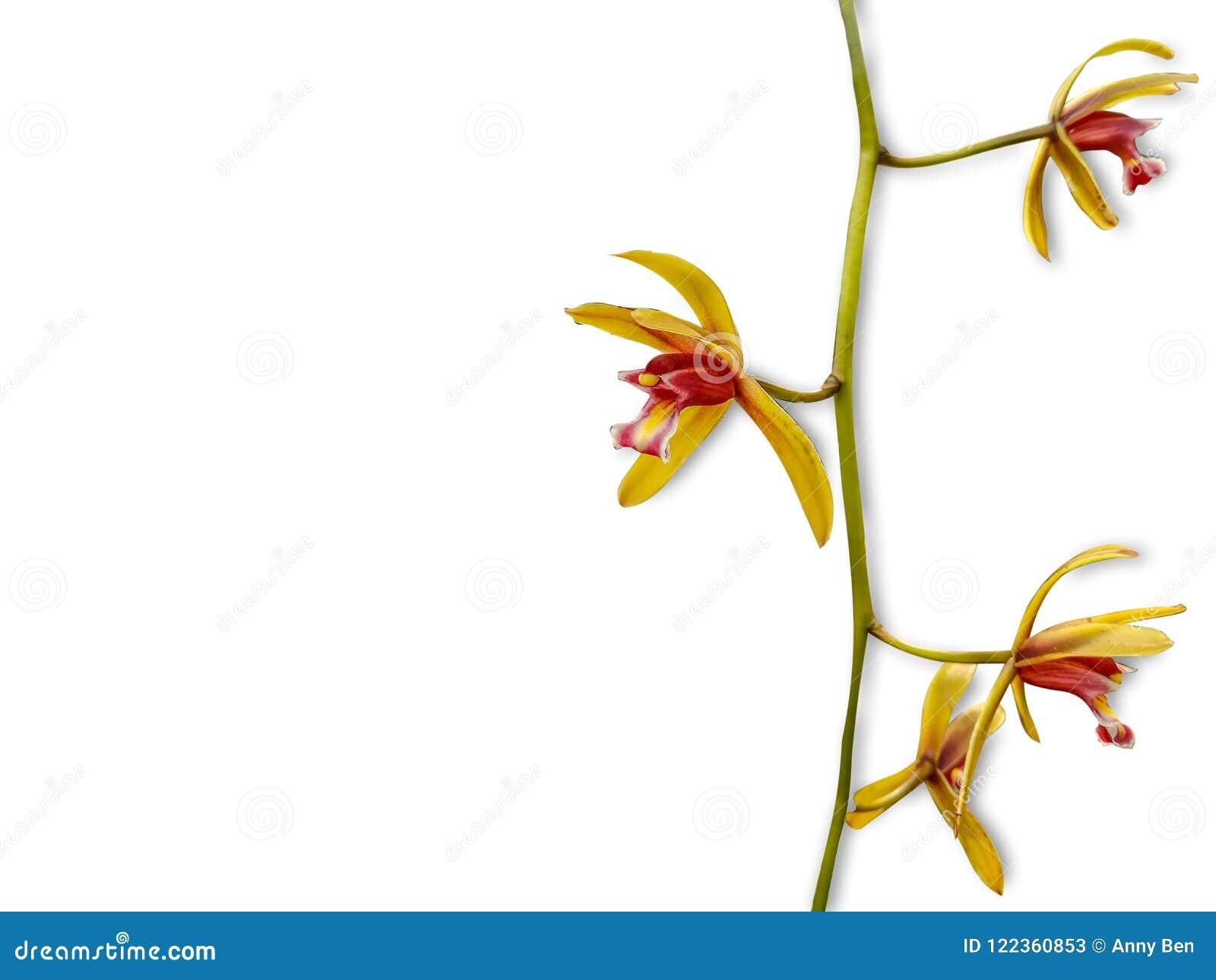 Wild orchid flower on white background