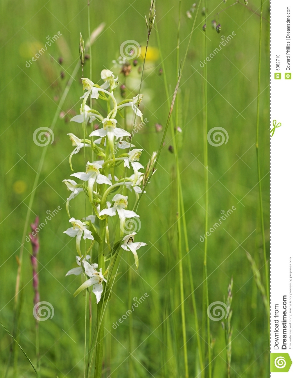 Wild Orchid in a Meadow