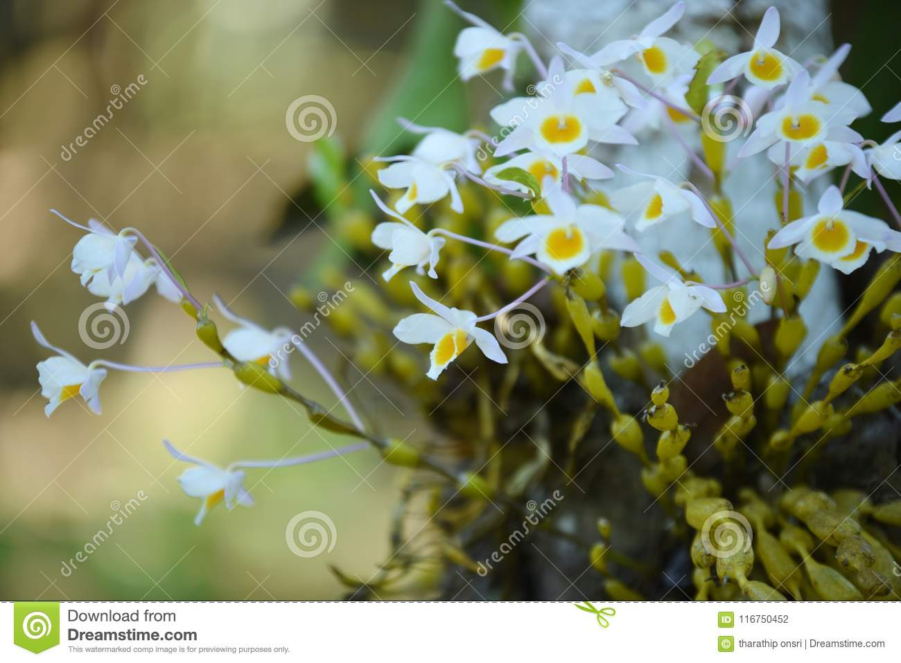 Wild orchid rare and gorgeous stock photo image of love breeding wild orchid rare and gorgeousautiful flowers in the gardenautiful flowers in the garden flowers are blooming in the breeding season has a green izmirmasajfo