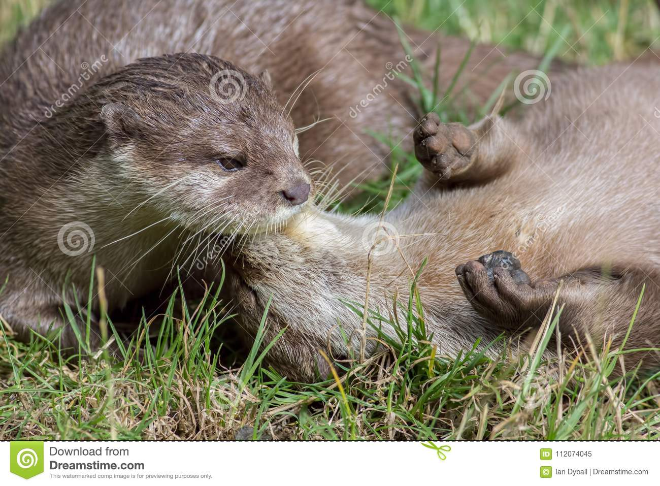 Wild otters playing. Affectionate river animal pair social bonding.