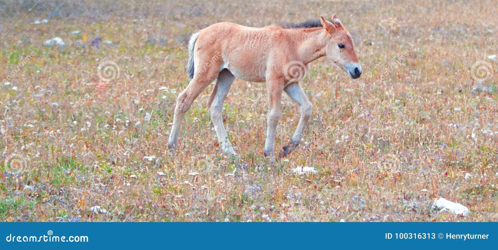 Wild paard - het Dun gekleurde veulen van het Babyveulen op Sykes Ridge in de Pryor-Waaier van het Bergenwild paard op grens van