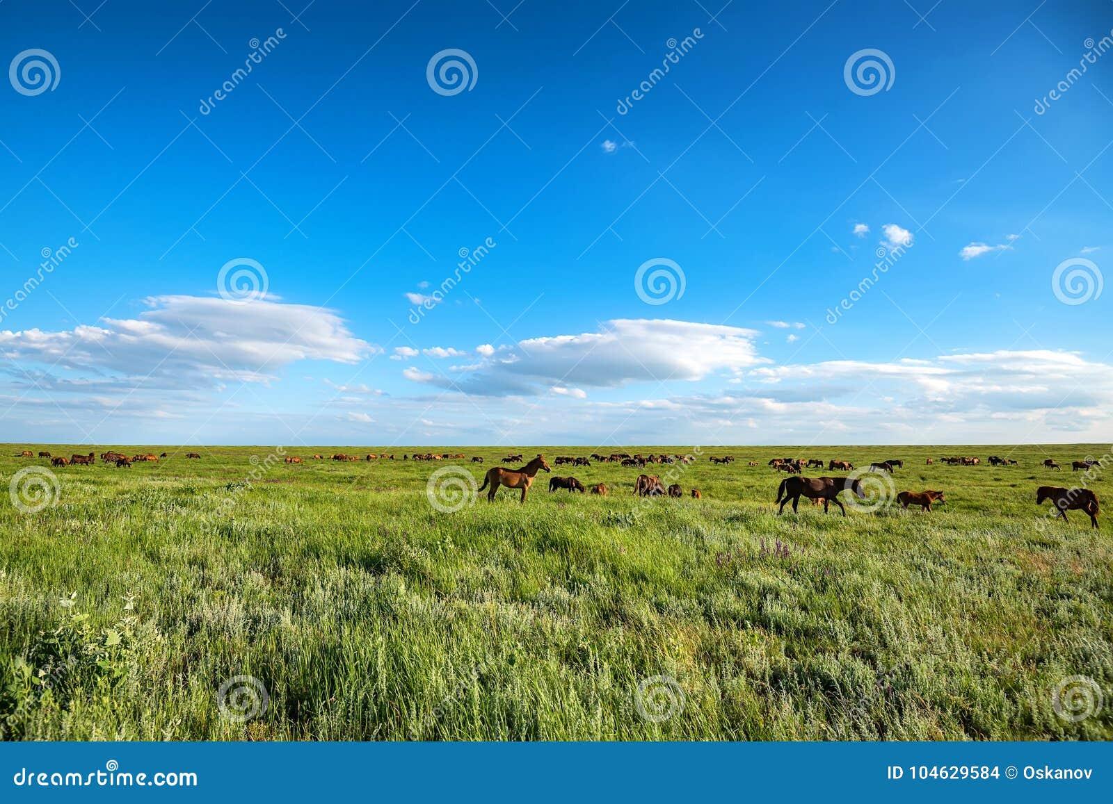 Download Wild Paarden Die Op De Zomerweide Weiden Stock Foto - Afbeelding bestaande uit openlucht, weiland: 104629584