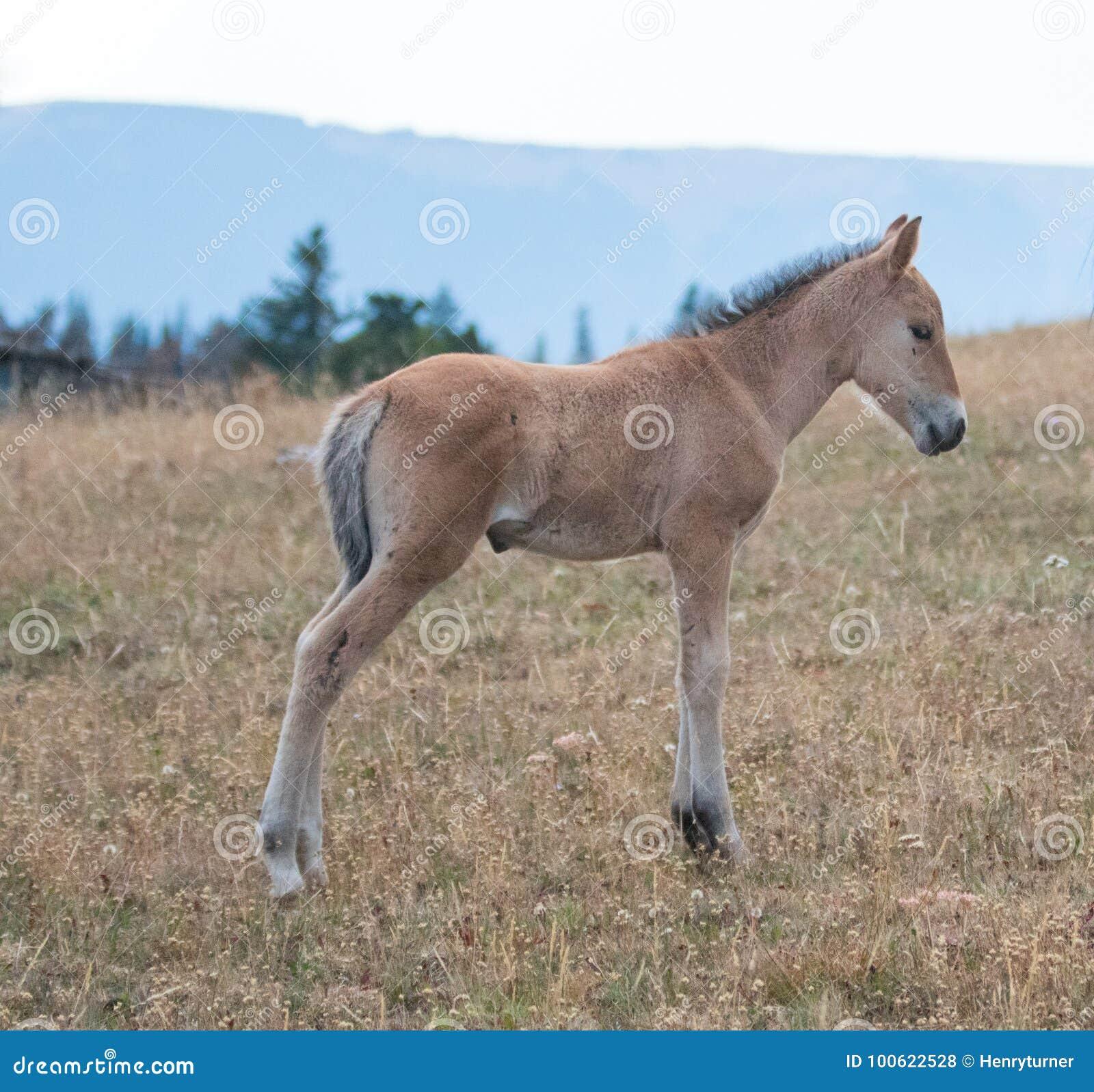 Wild paarden - het veulen van het Babyveulen op Sykes Ridge in de Pryor-Waaier van het Bergenwild paard op de grens van Montana e