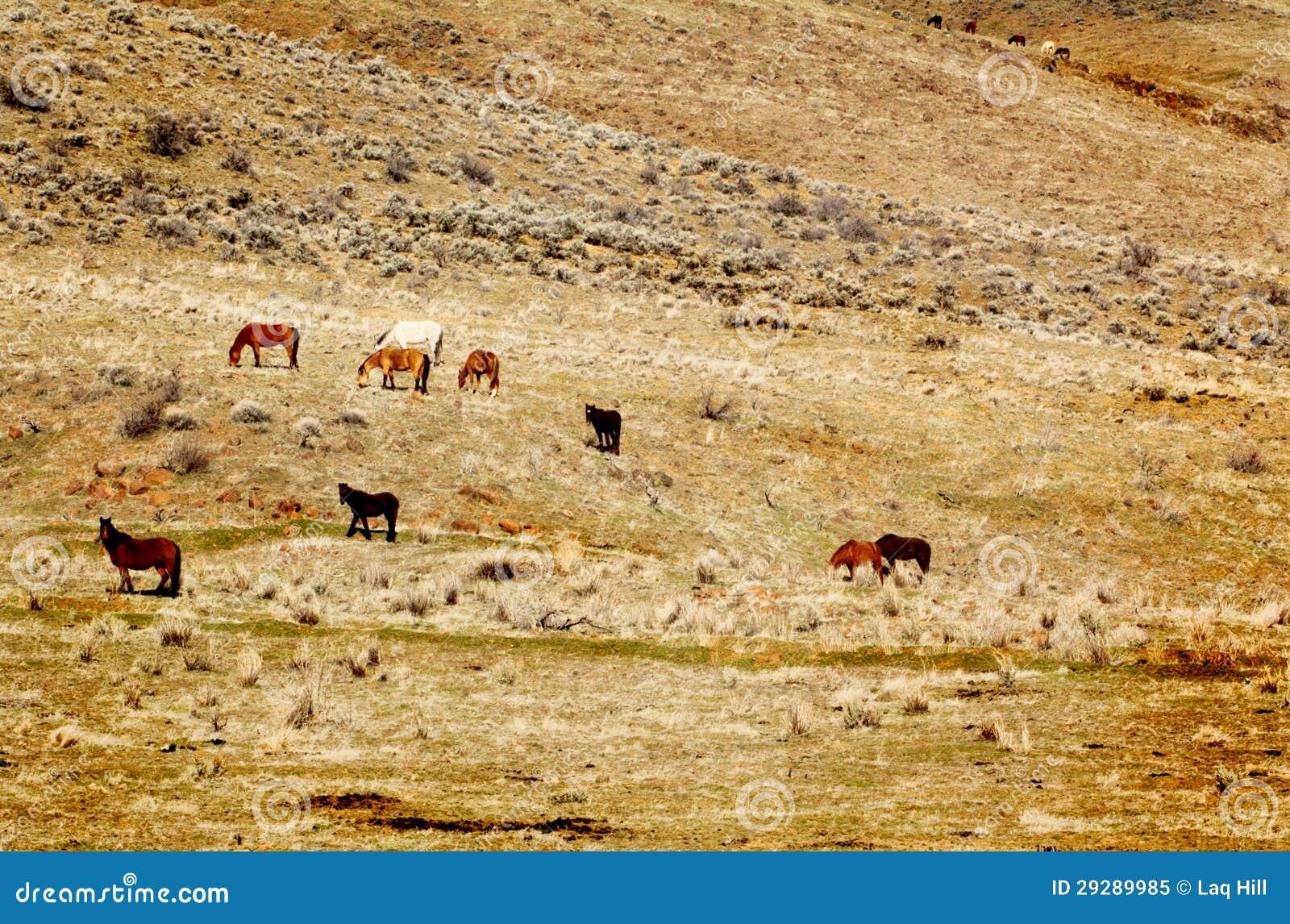 Wild paarden op Helling