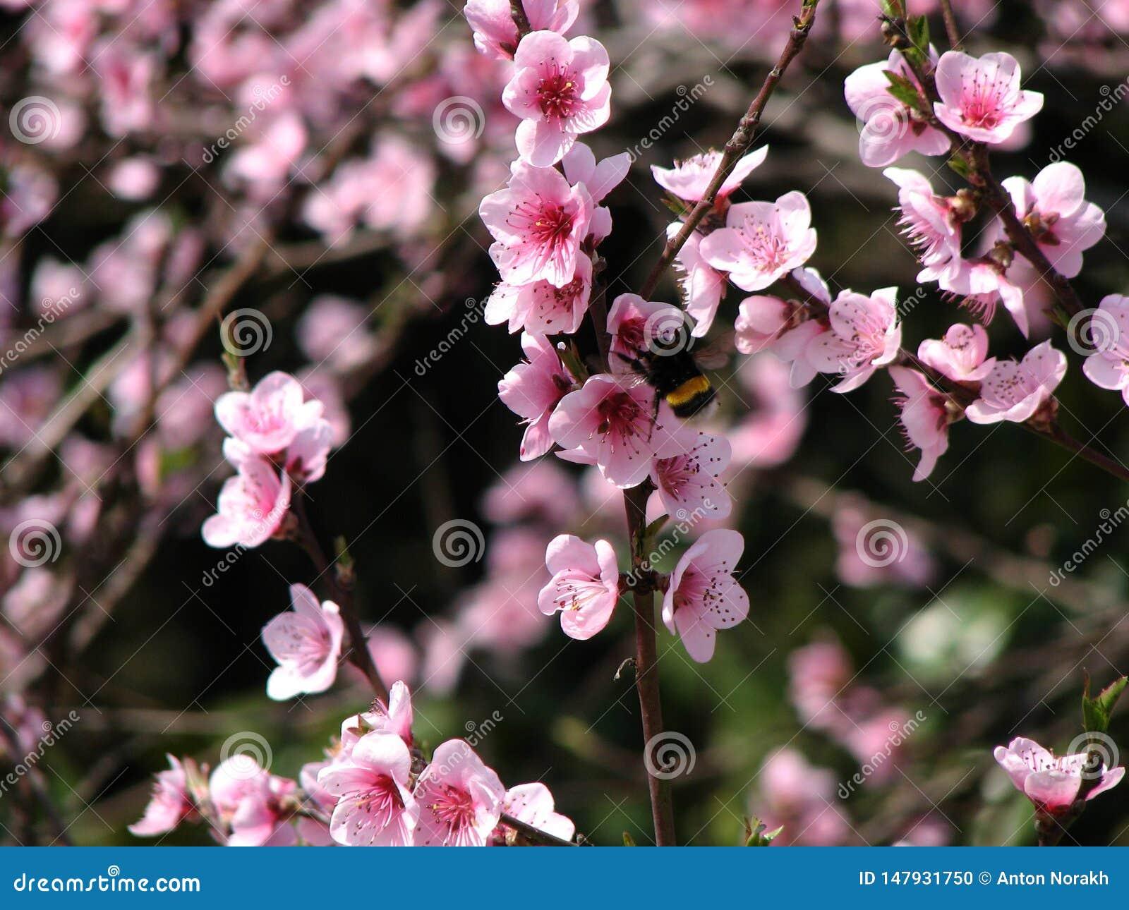 Wild peach bloom