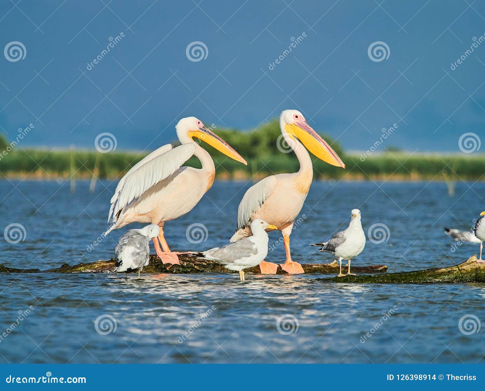 Wild Pelicans in The Danube Delta in Tulcea, Romania