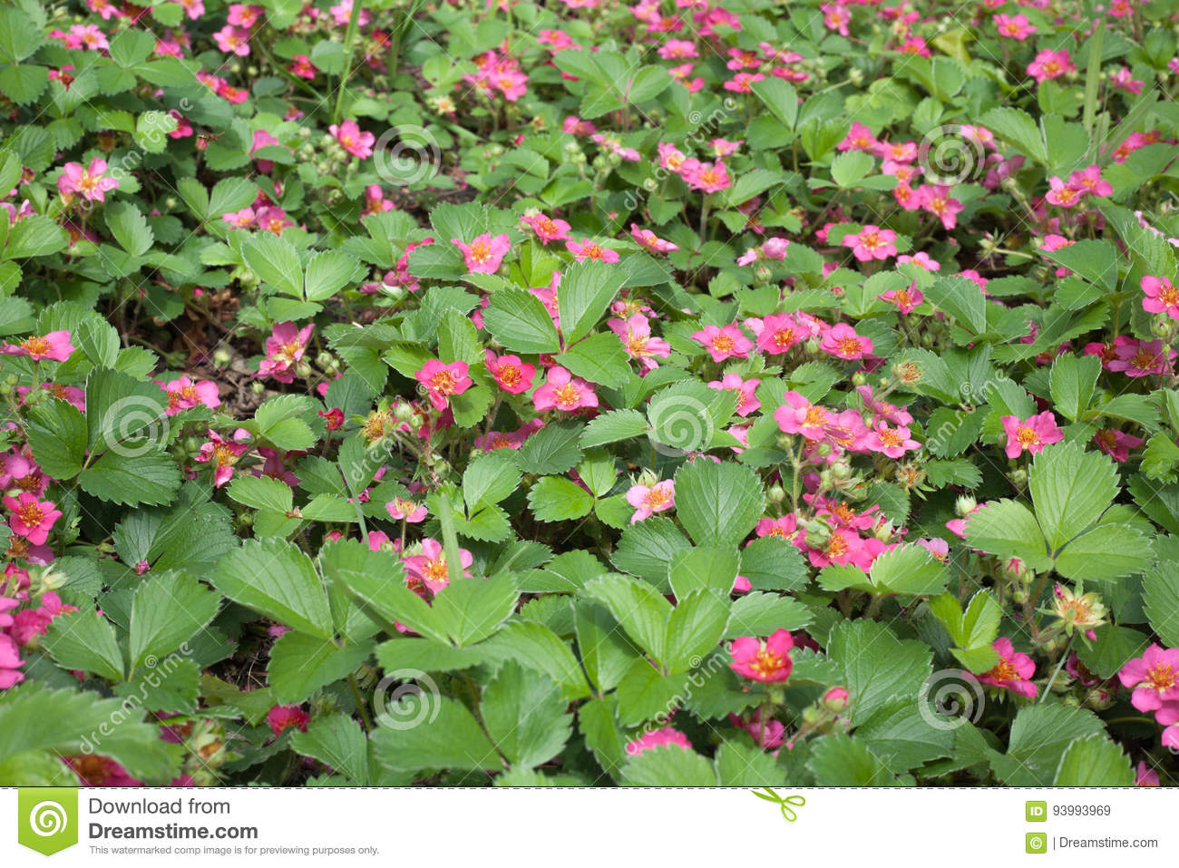 Wild Pink Flowering Strawberry In A Garden Stock Image Image Of