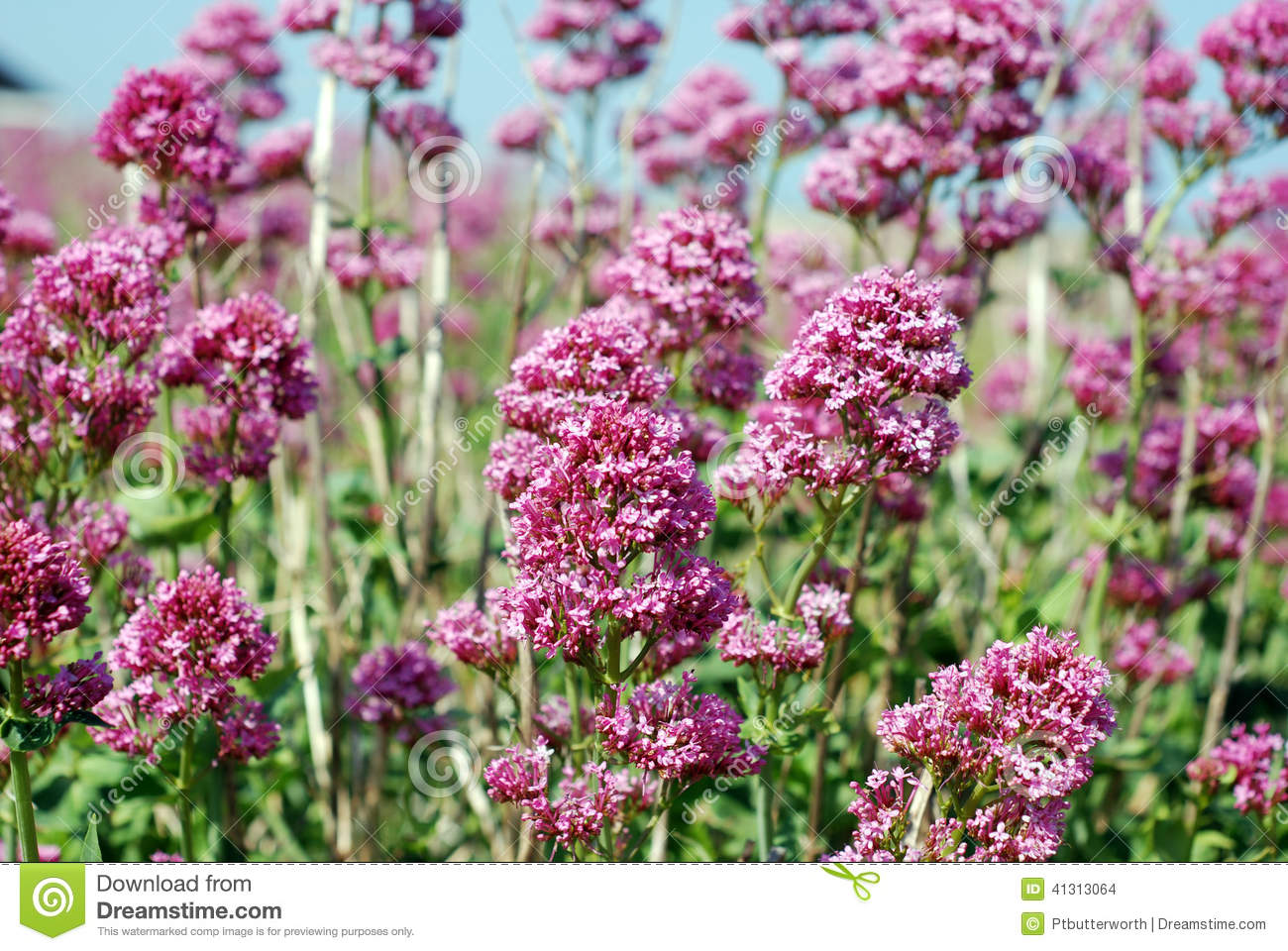 Wild pink flowers stock photo image of environment flowers 41313064 wild pink flowers mightylinksfo Image collections