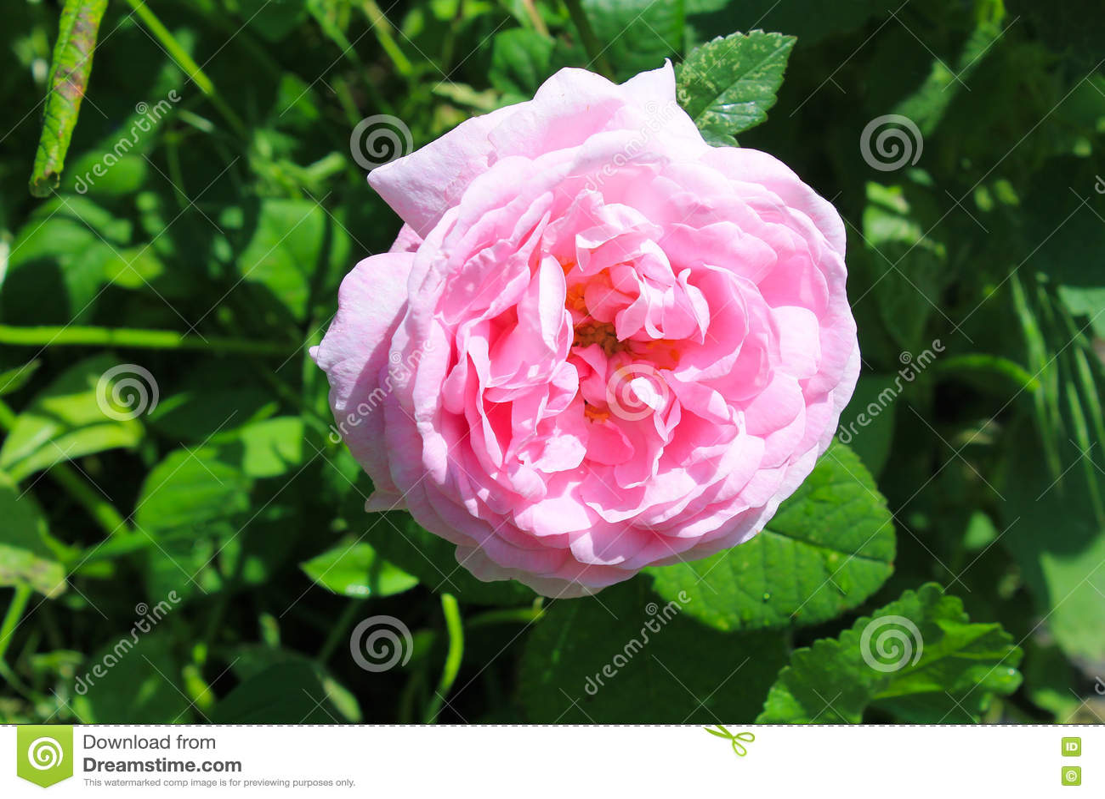 Wild pinkrose