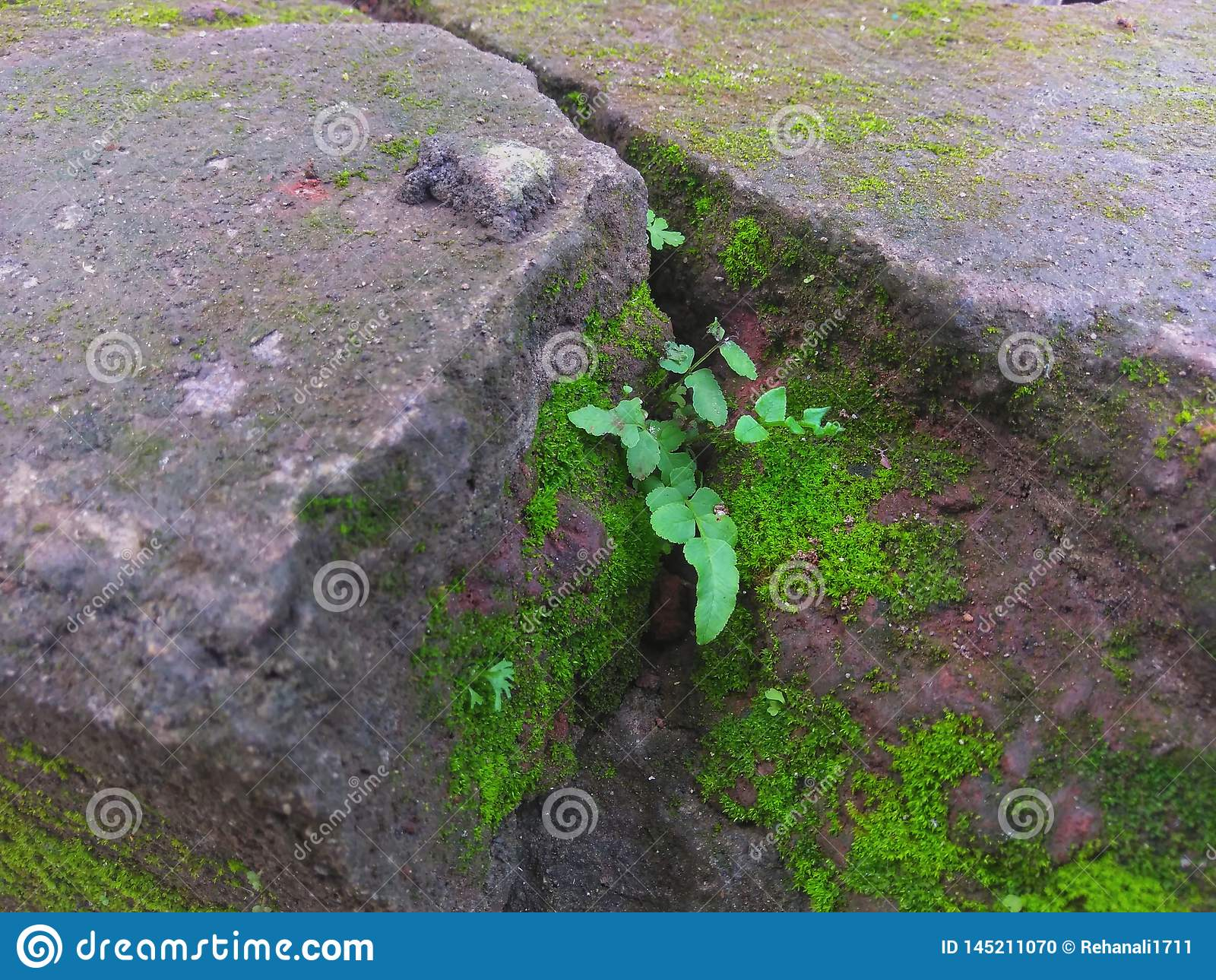Wild Plant And Moss Grow On Cracked Wall Stock Photo Image Of