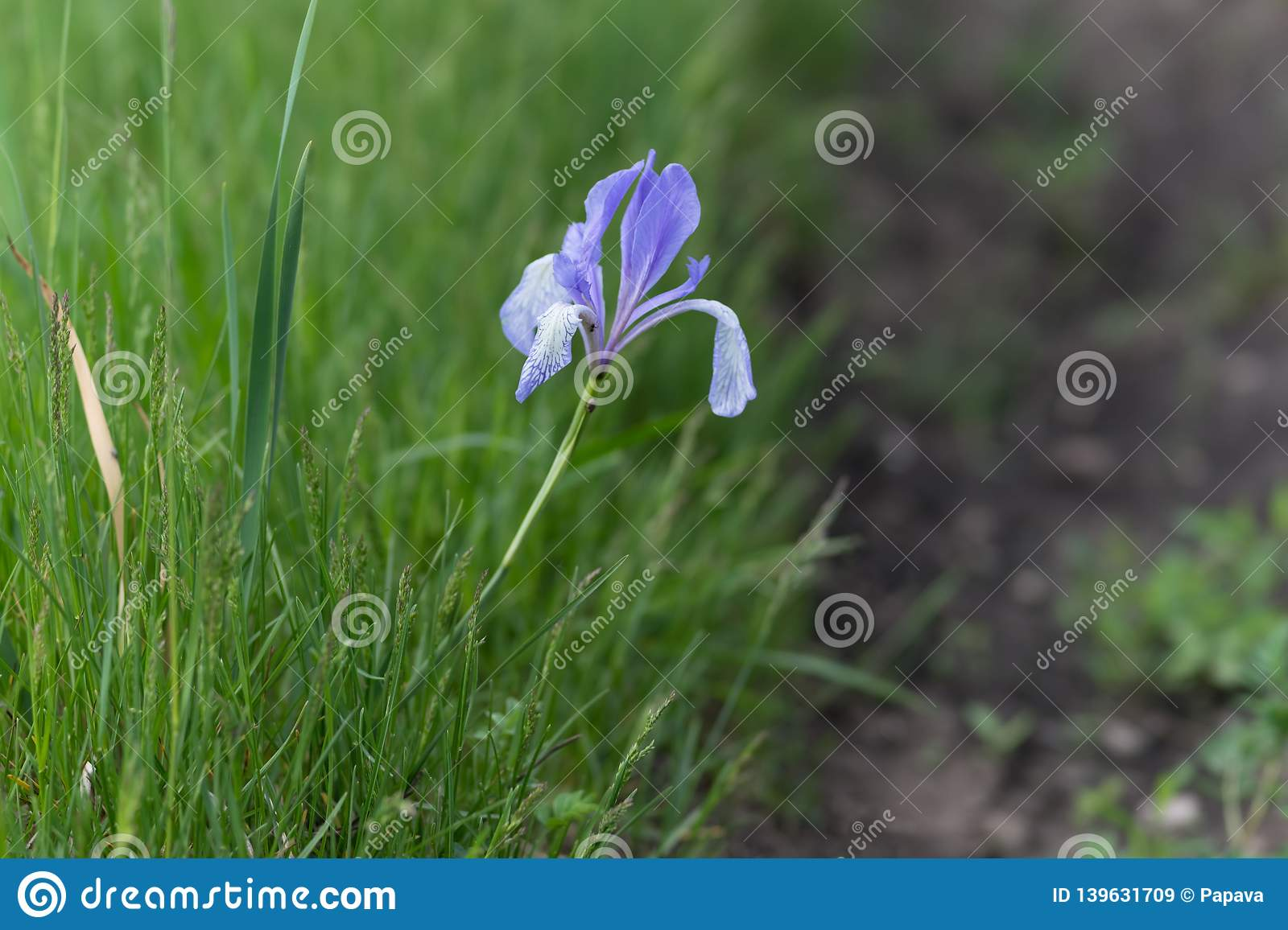Blue flag or Siberian Iris lat. Iris sibirica grows on the side of a dirt road