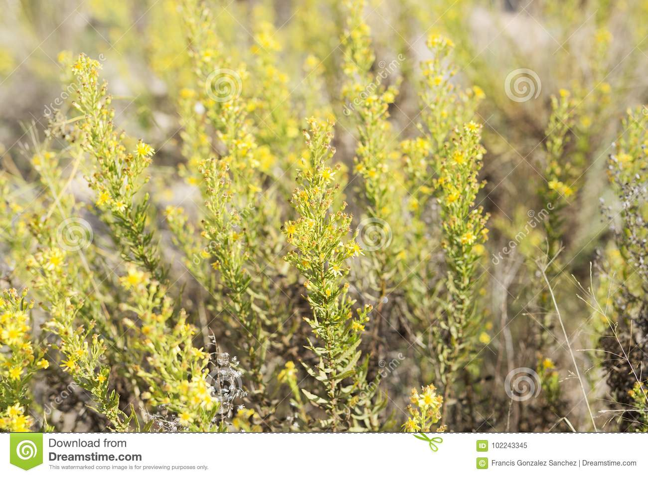 Wild Plant With Yellow Flowers Stock Image Image Of Spring