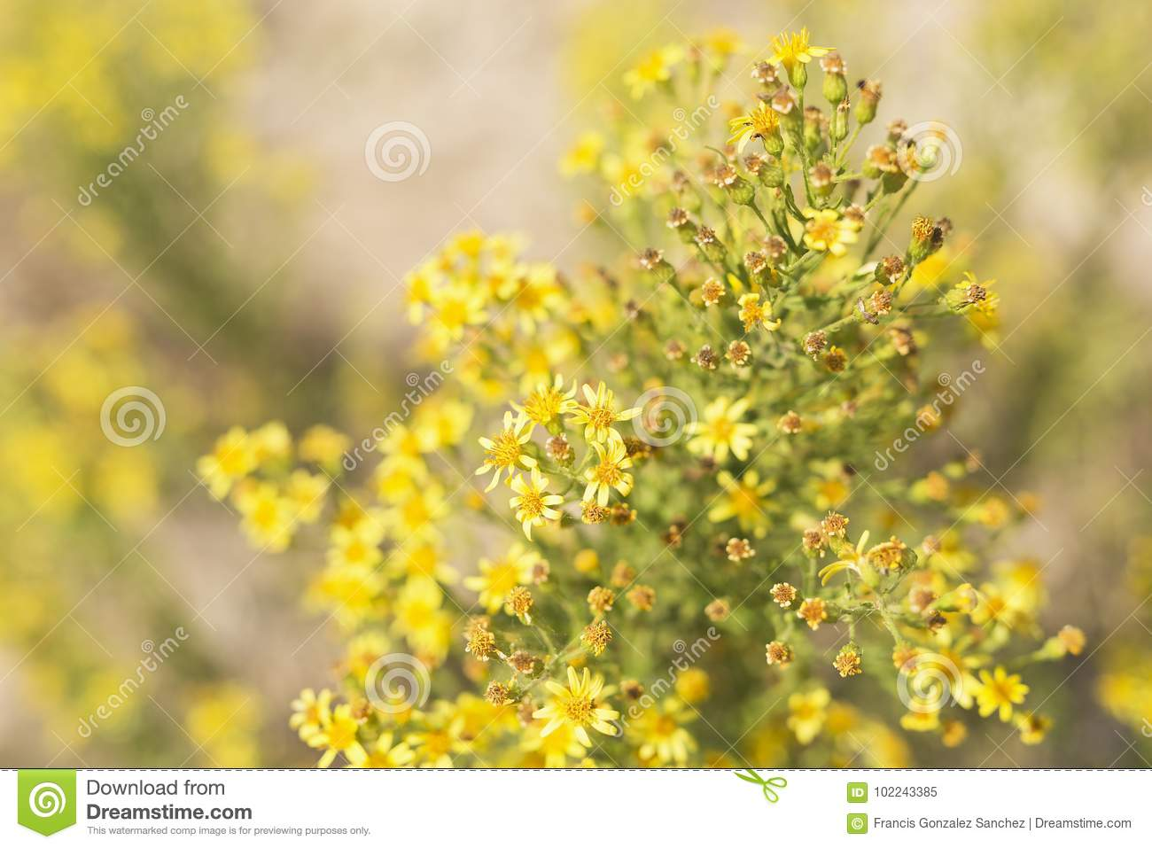 Wild Plant With Yellow Flowers Stock Image Image Of Spain People