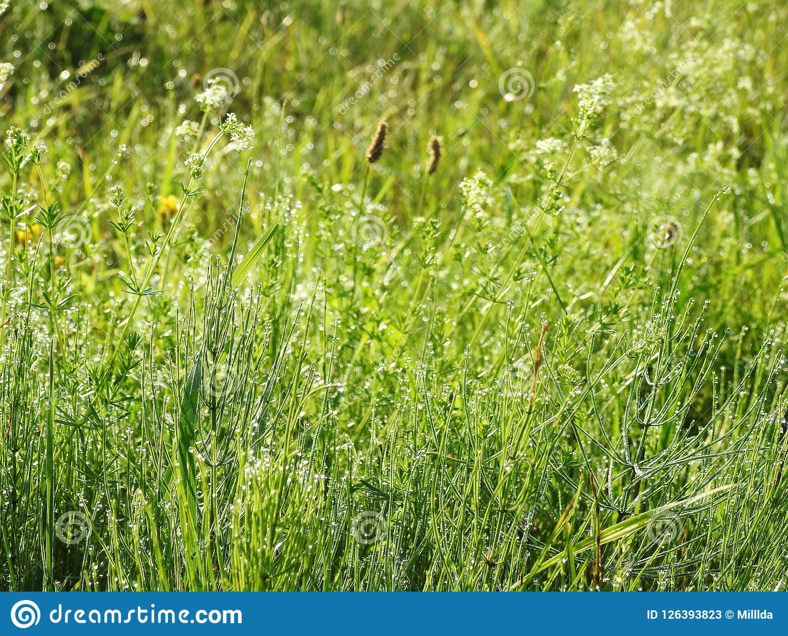 Wild Plants With Morning Dew Lithuania Stock Image Image Of Flora
