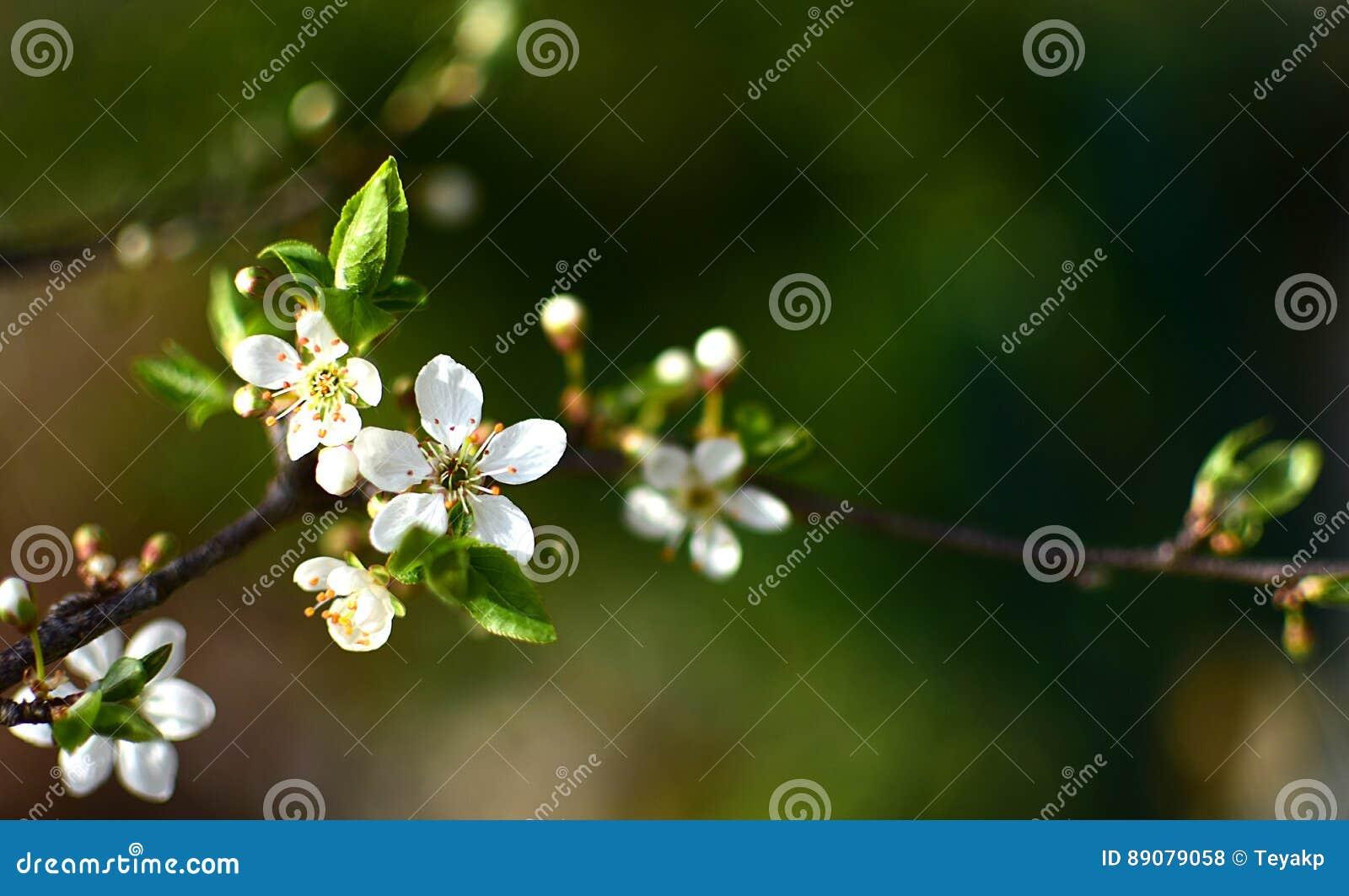 Wild plum tree in full bloom