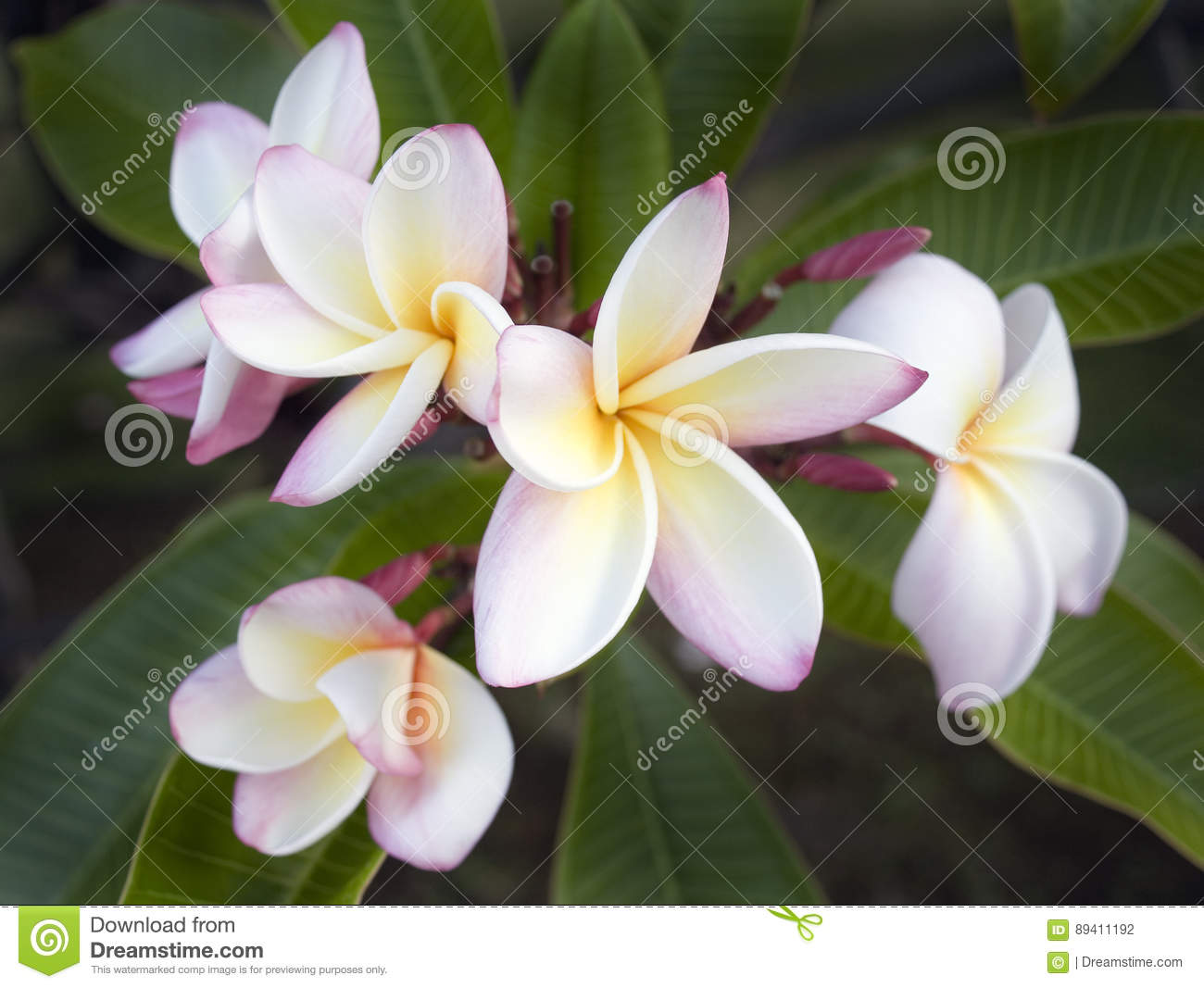 Wild Plumeria Flower Maui Hawaii Stock Photo Image Of