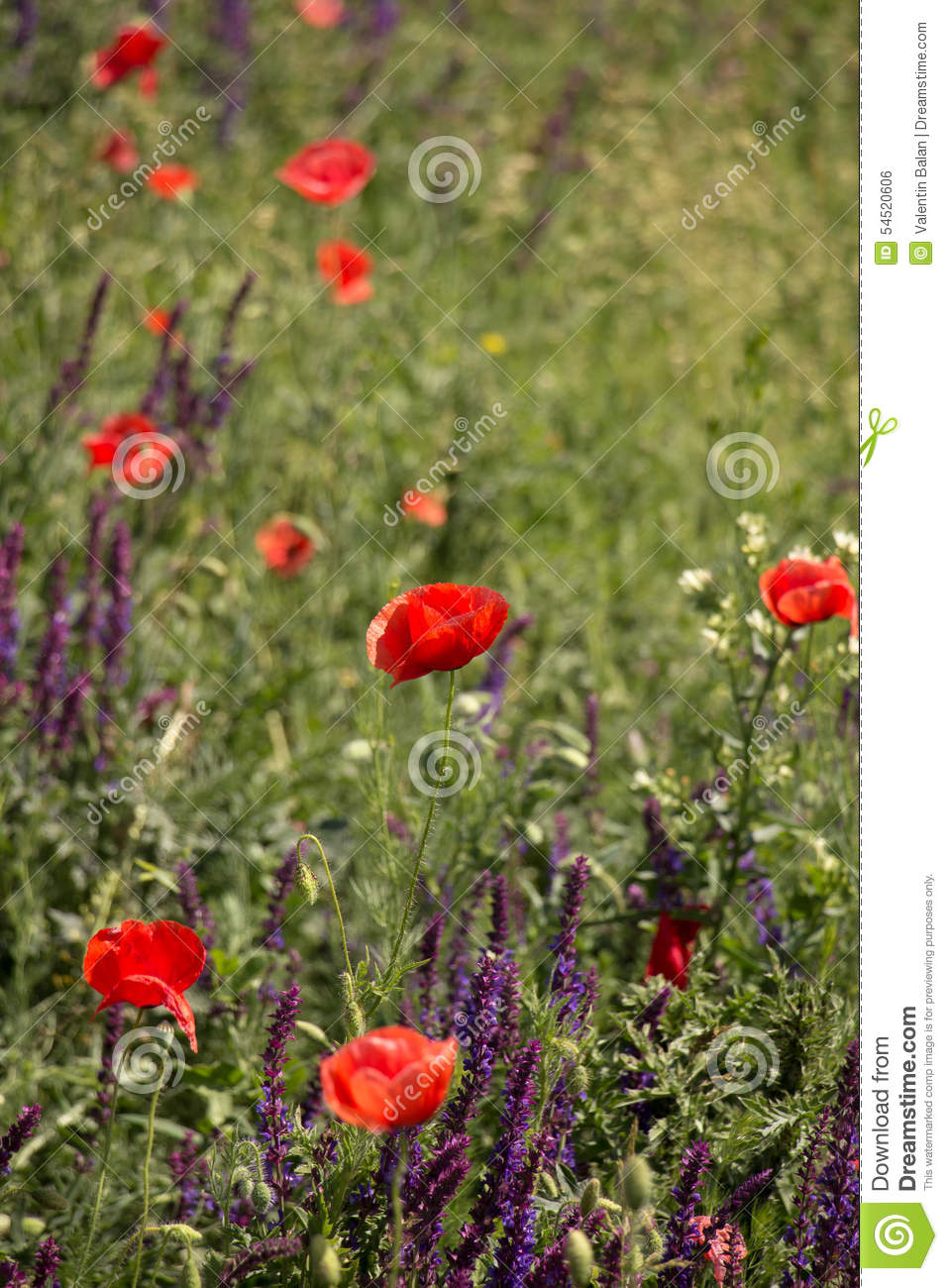 Wild Poppies Flowers Stock Photo Image Of Green Outdoors 54520606