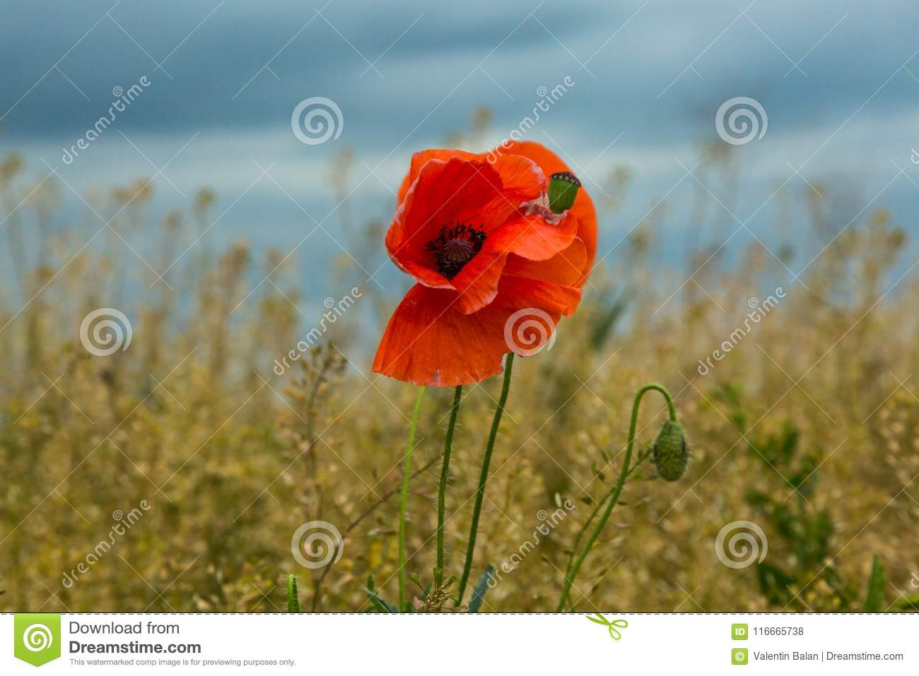 Wild Poppies Flowers Stock Photo Image Of Bloom Blossom 116665738