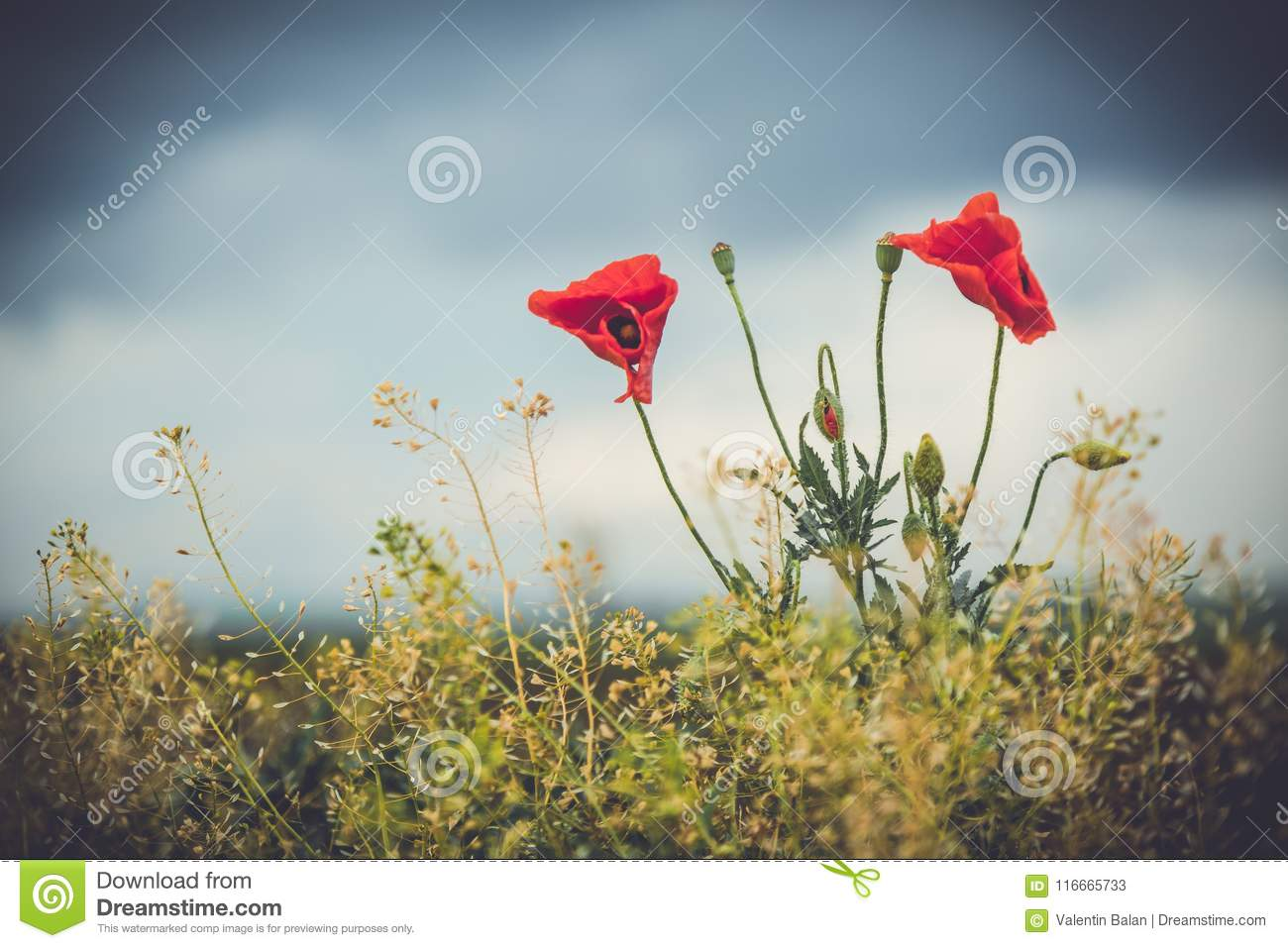 Wild Poppies Flowers Stock Image Image Of Flora Blooming 116665733