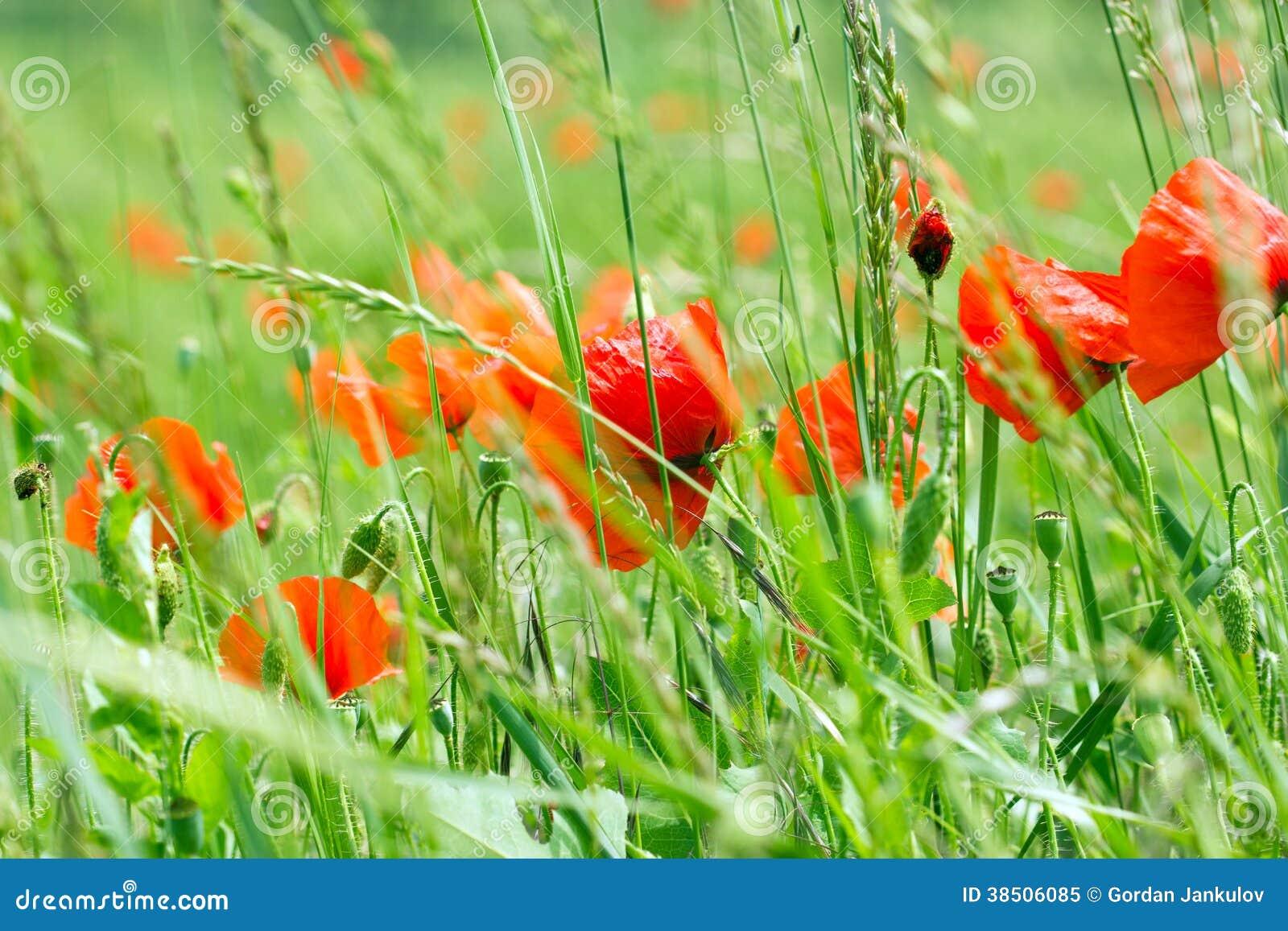 wild poppy flowers on - photo #19