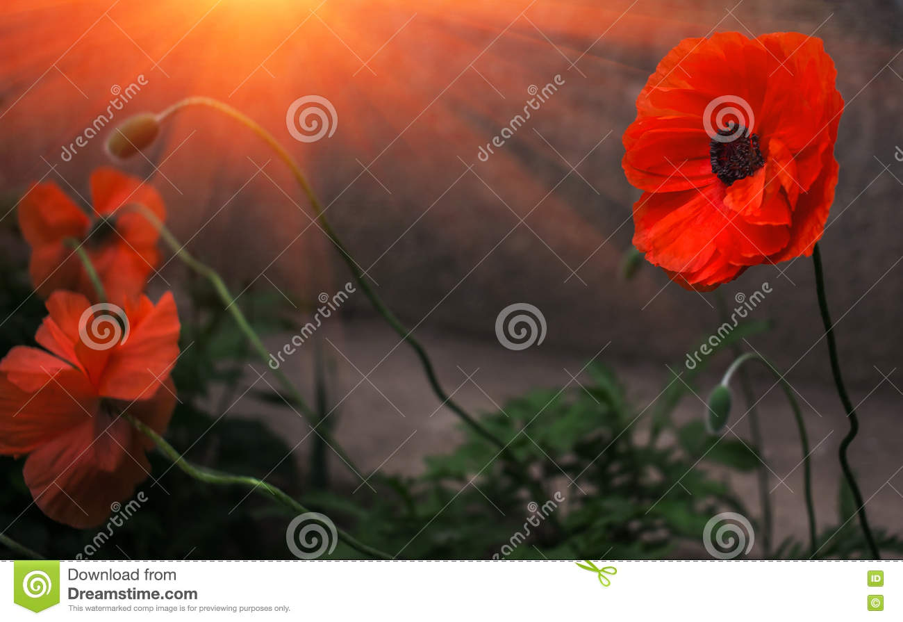 Wild poppy flower in the sun remembrance stock image image royalty free stock photo buycottarizona