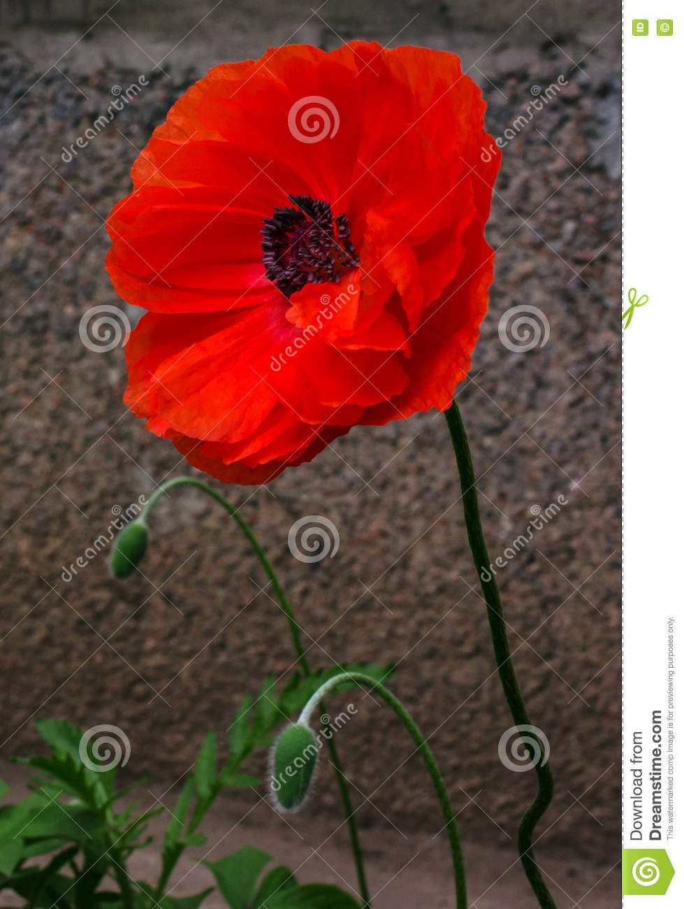 Wild poppy flower stock photo image of natural poppy 78751146 wild poppy flower buycottarizona