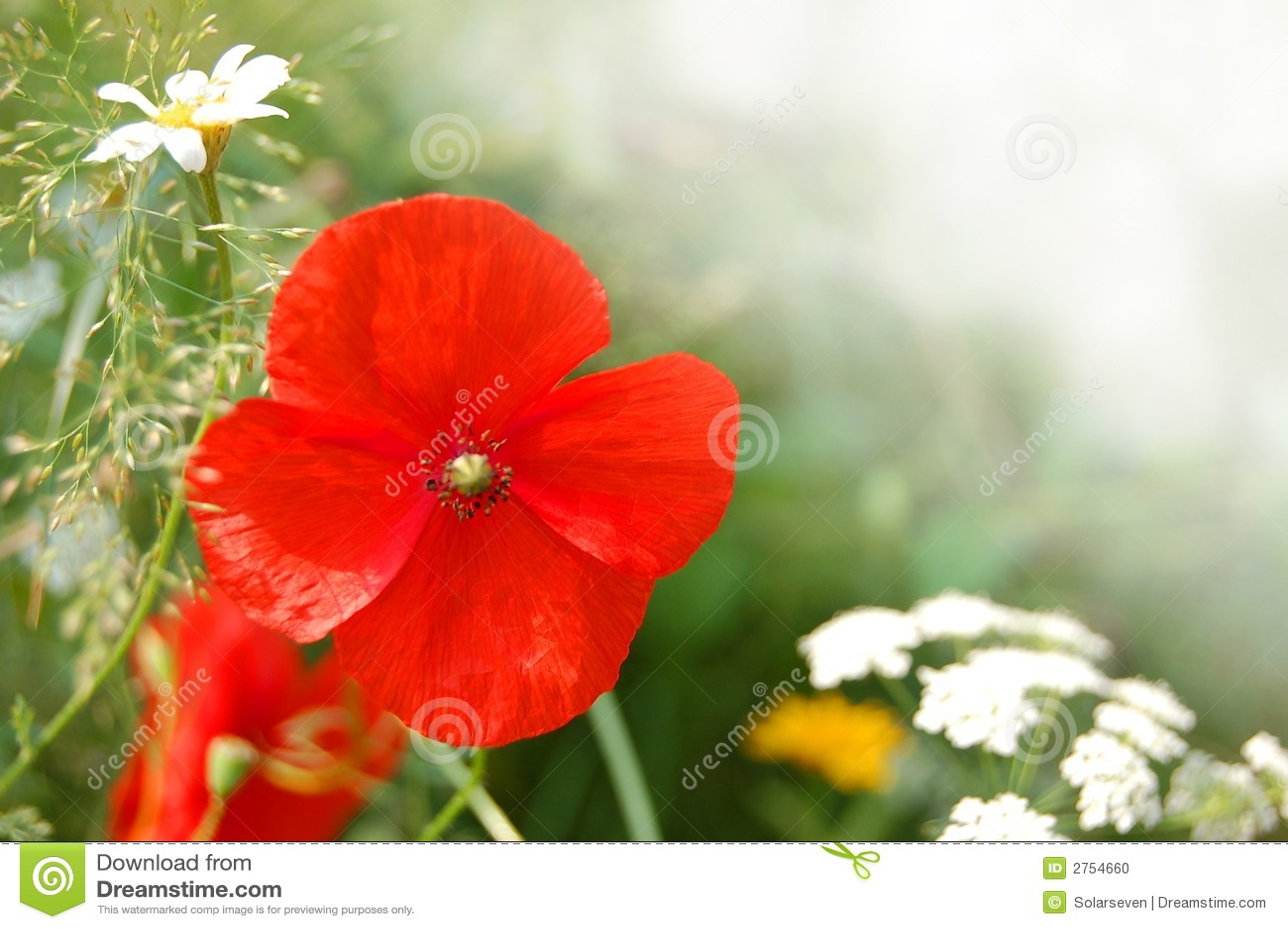 wild poppy flowers on - photo #6