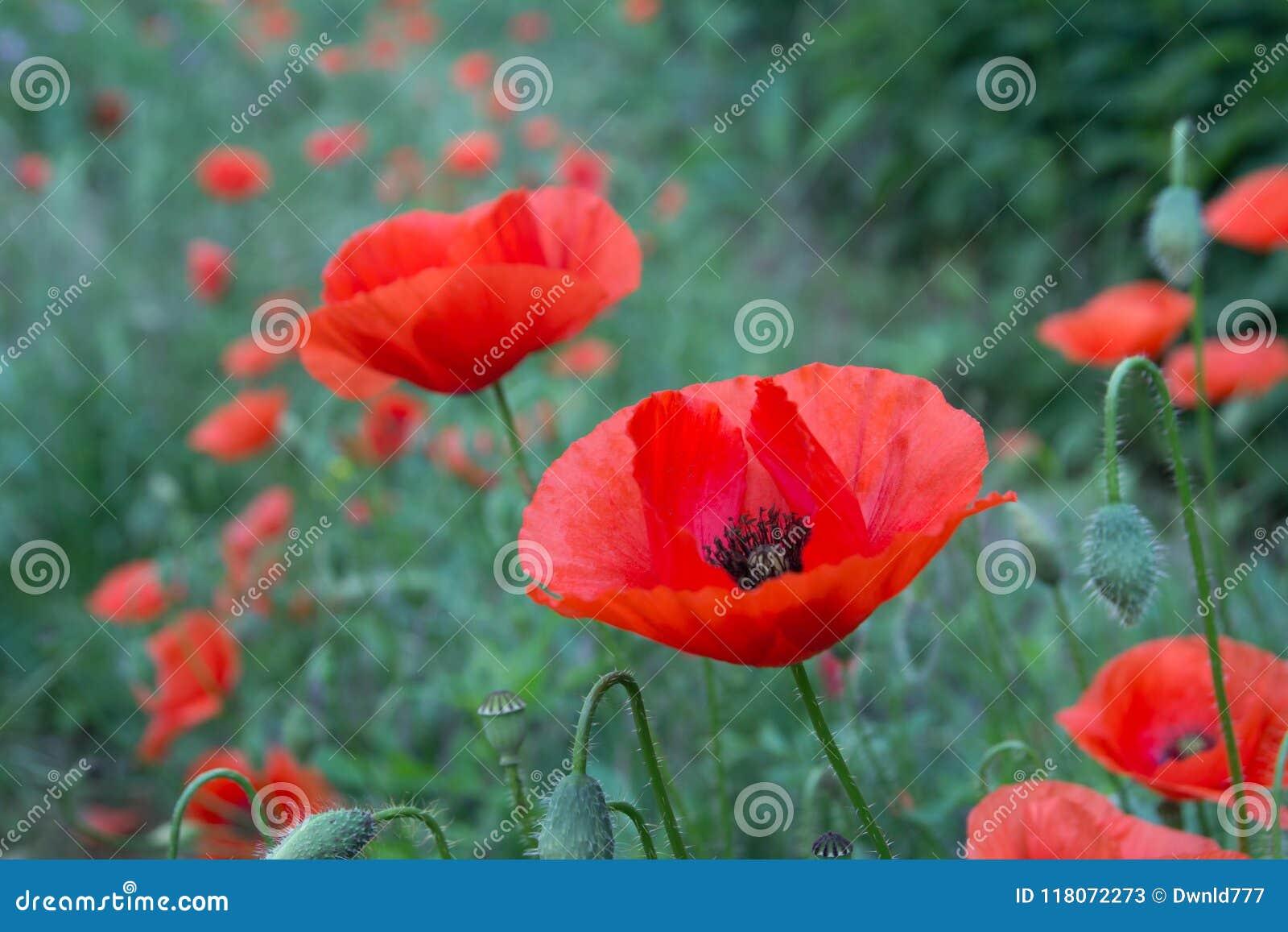 Wild Poppy Flowers Stock Image Image Of Bloom Macro 118072273