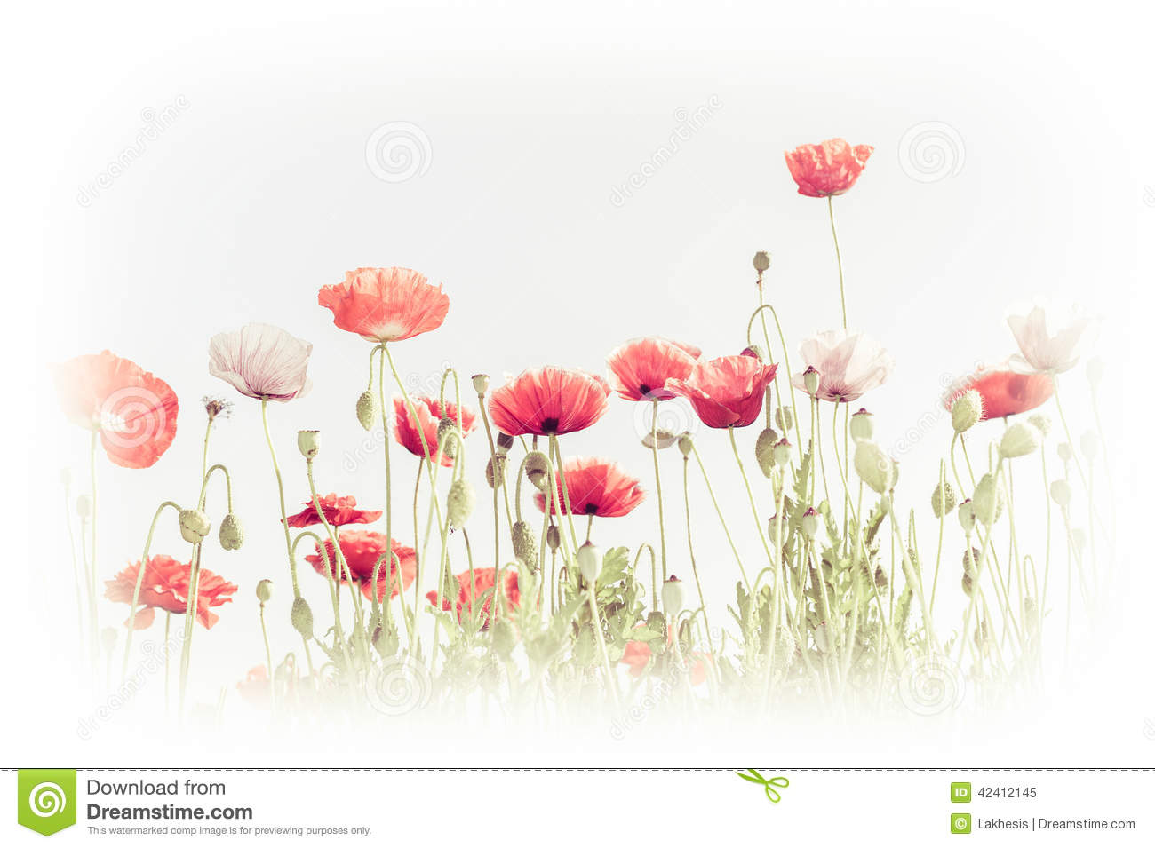 Poppy flower field at night royalty free stock photography image - Wild Poppy Flowers On Summer Meadow Floral Background Royalty Free Stock Photo