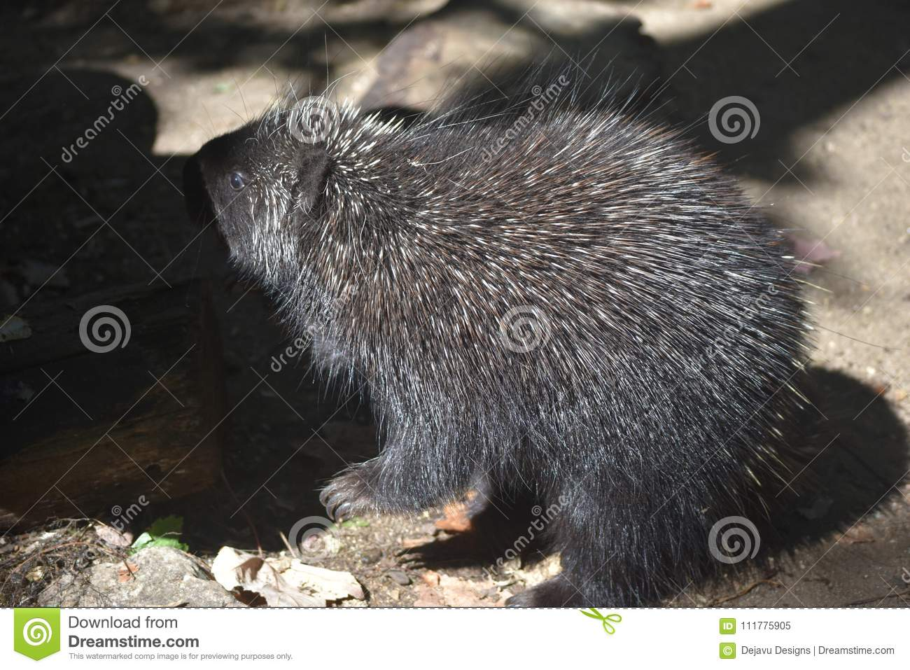 Close up on a porcupine standing next to a log