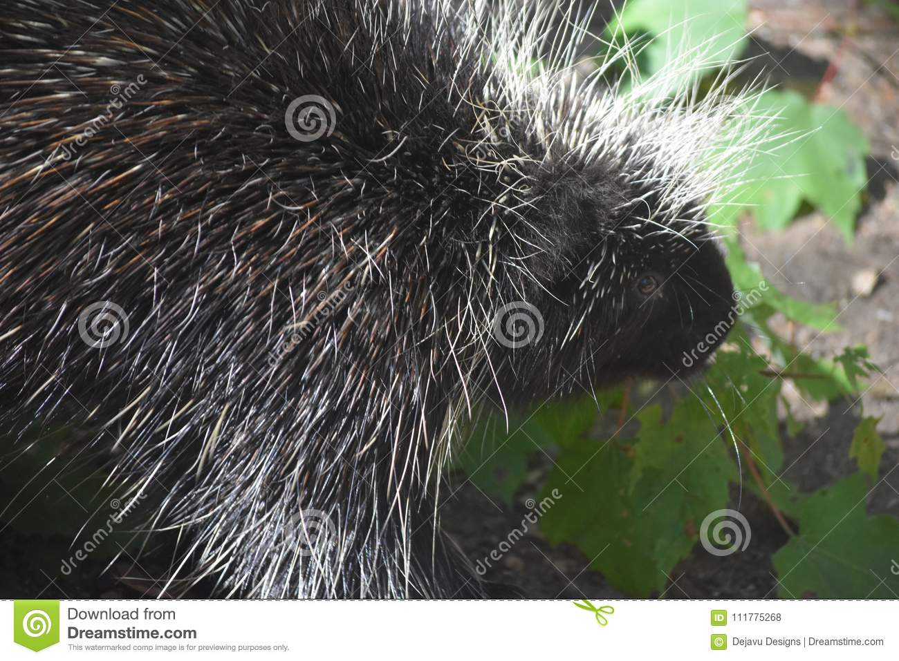 Close up on the face of a black and white porcupine